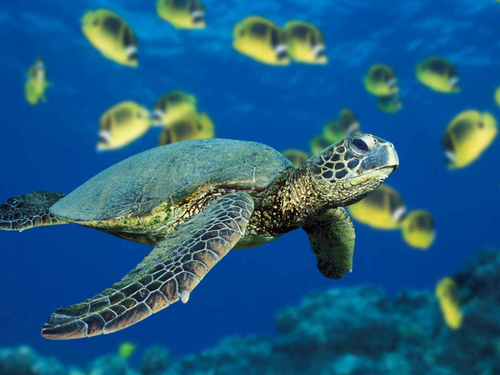 Awesome Turtle free background ID:29751 for hd 1024x768 desktop