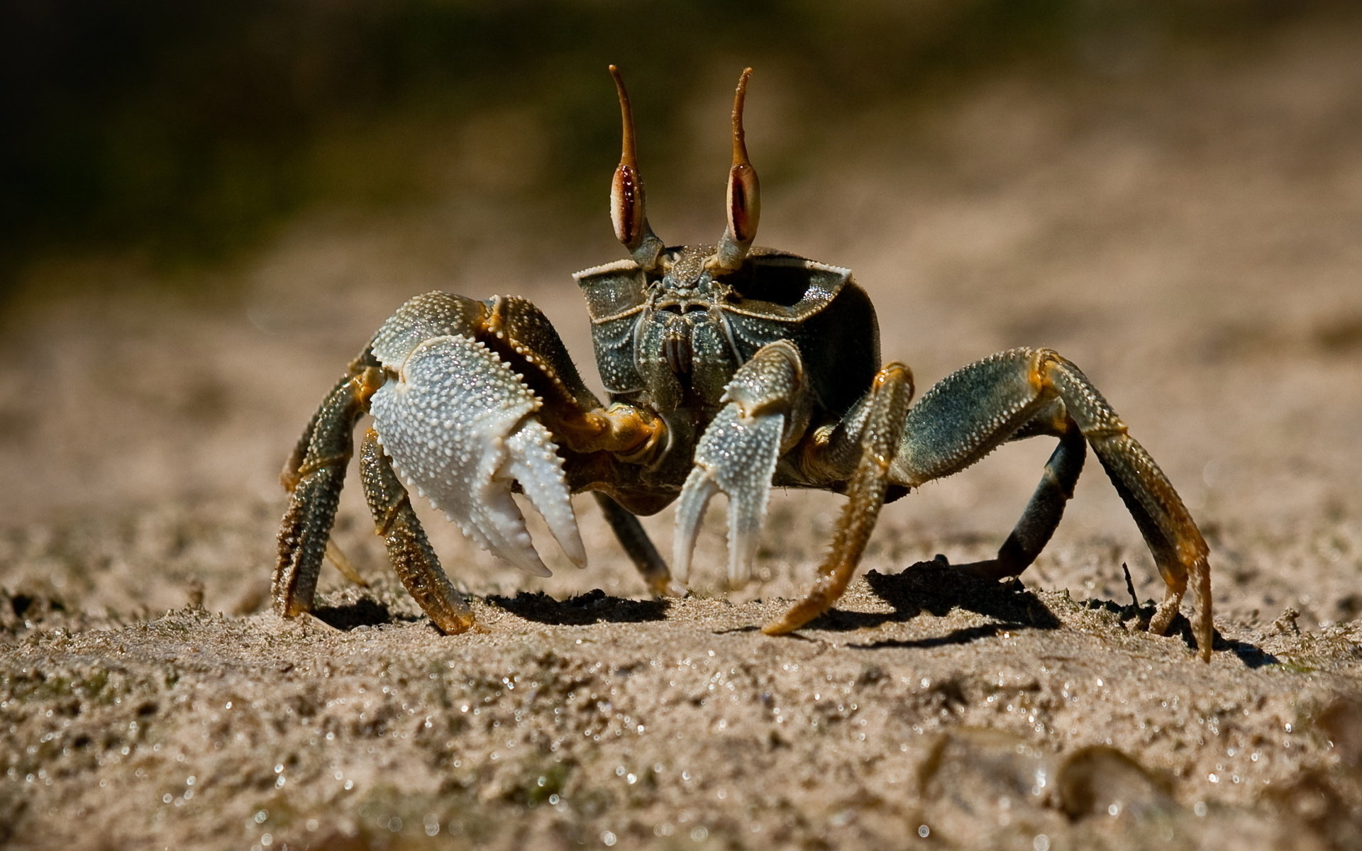Free Crab high quality background ID:294313 for hd 1920x1200 computer