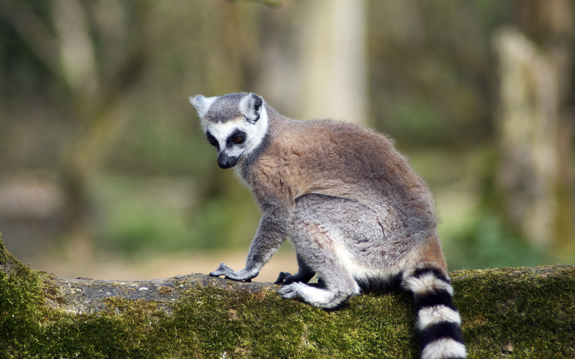 Best Lemur wallpaper ID:53170 for High Resolution hd 1920x1200 desktop