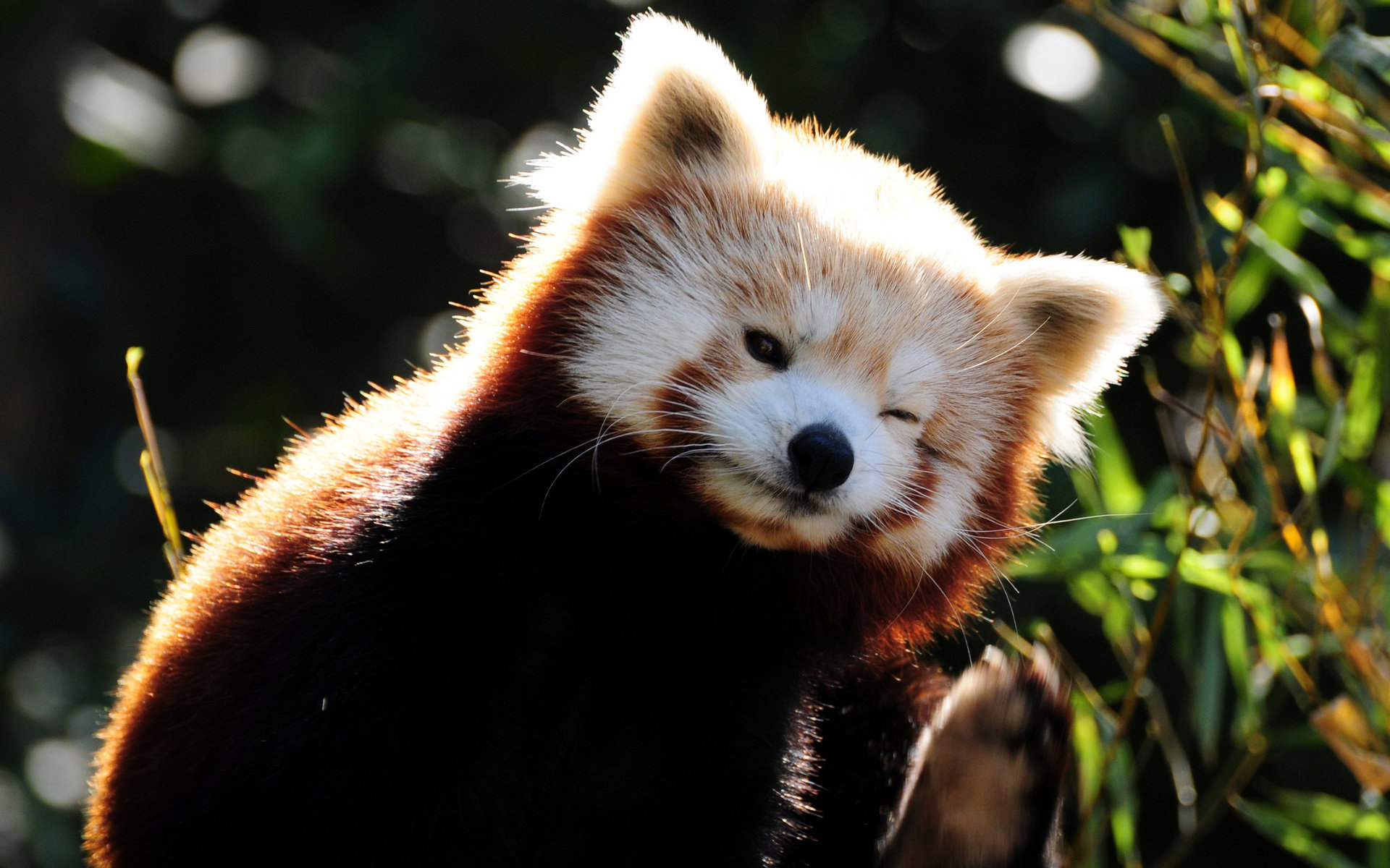 Free download Red Panda background ID:64053 hd 1920x1200 for PC