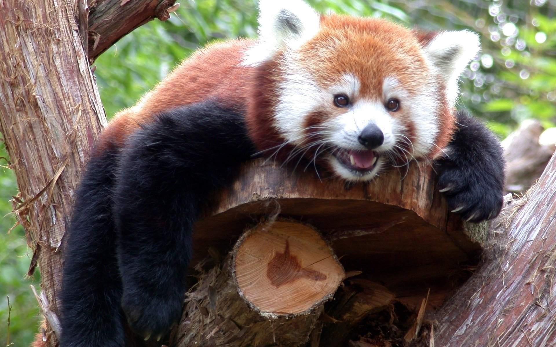 Free Red Panda high quality wallpaper ID:64094 for hd 1920x1200 desktop