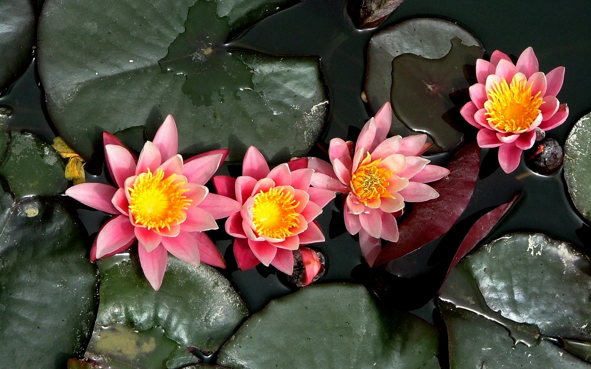 Free download Water Lily wallpaper ID:366194 hd 1920x1200 for computer