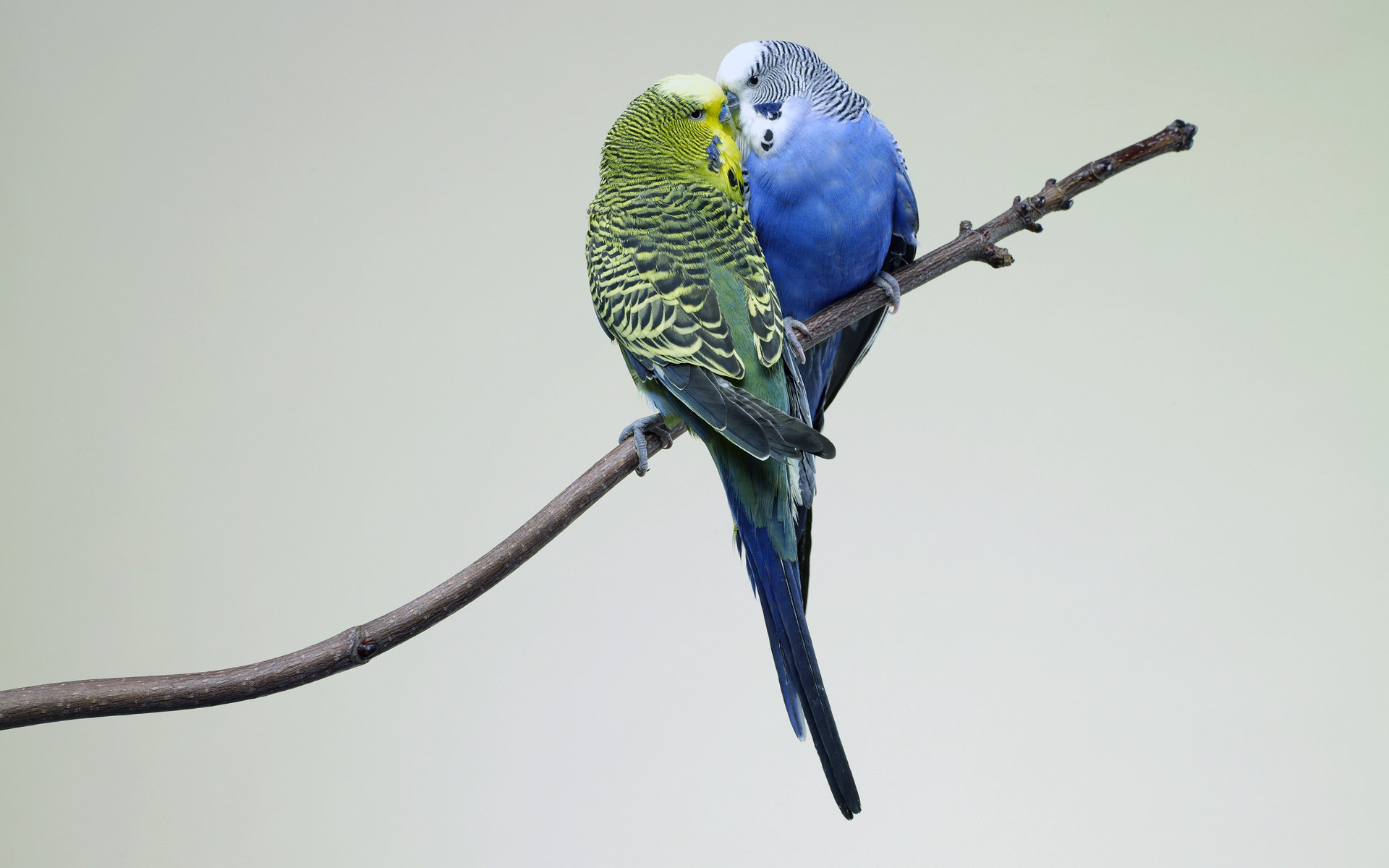 Free download Budgerigar wallpaper ID:32573 hd 1920x1200 for computer