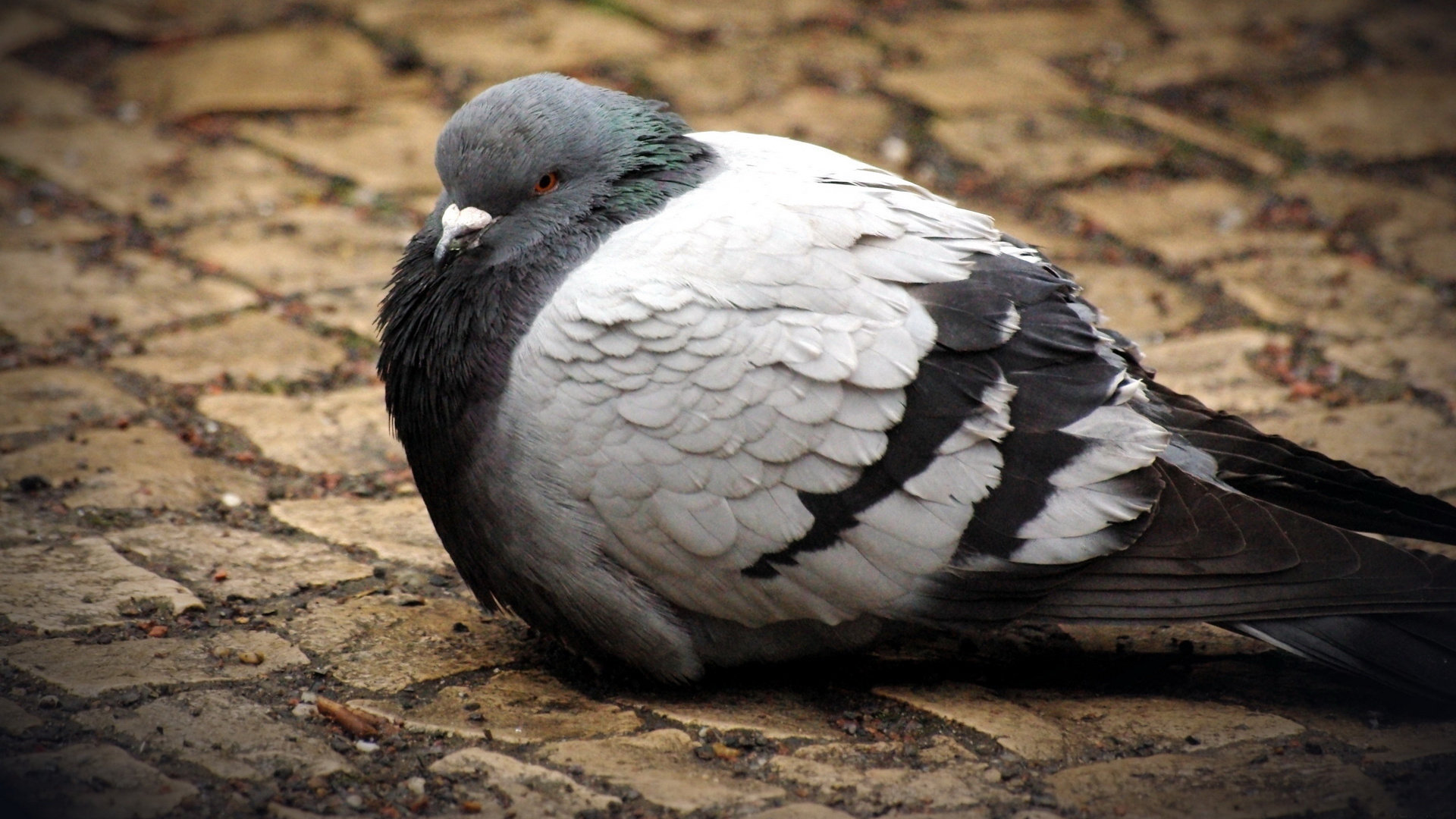 High resolution Pigeon full hd 1080p background ID:212327 for desktop