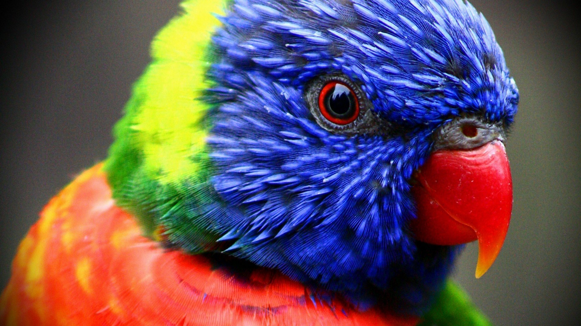 Awesome Rainbow Lorikeet free background ID:10199 for full hd computer