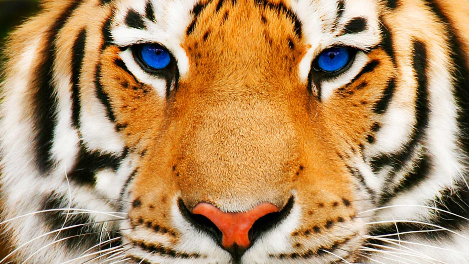 best tiger wallpaper id:115673 for high resolution hd 1080p computer