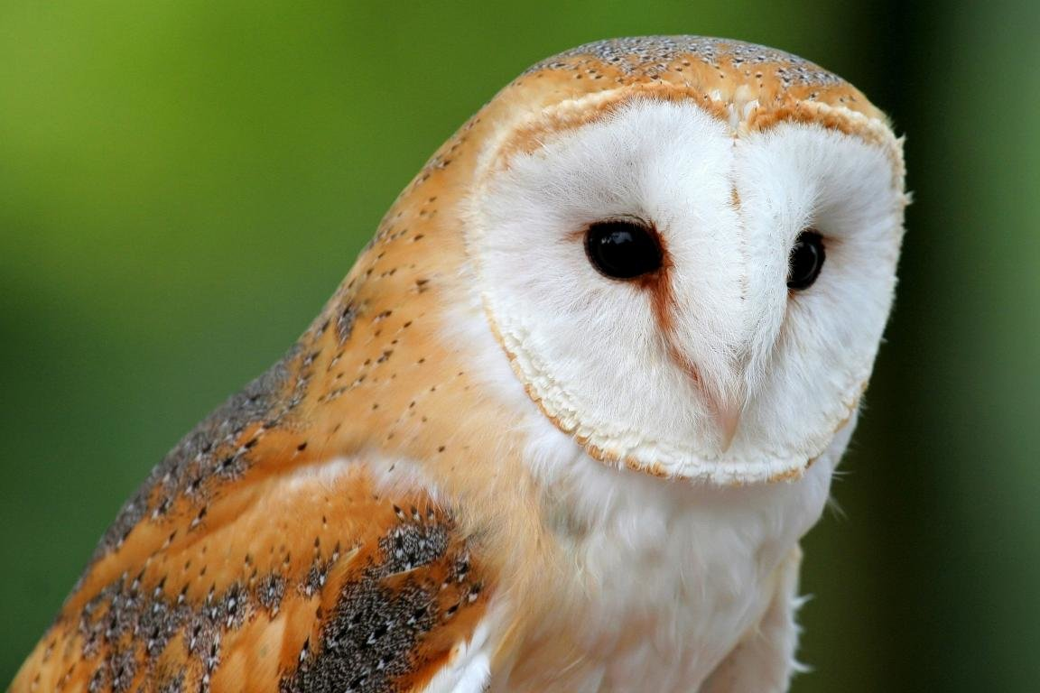 Free Barn Owl high quality background ID:81563 for hd 1152x768 computer