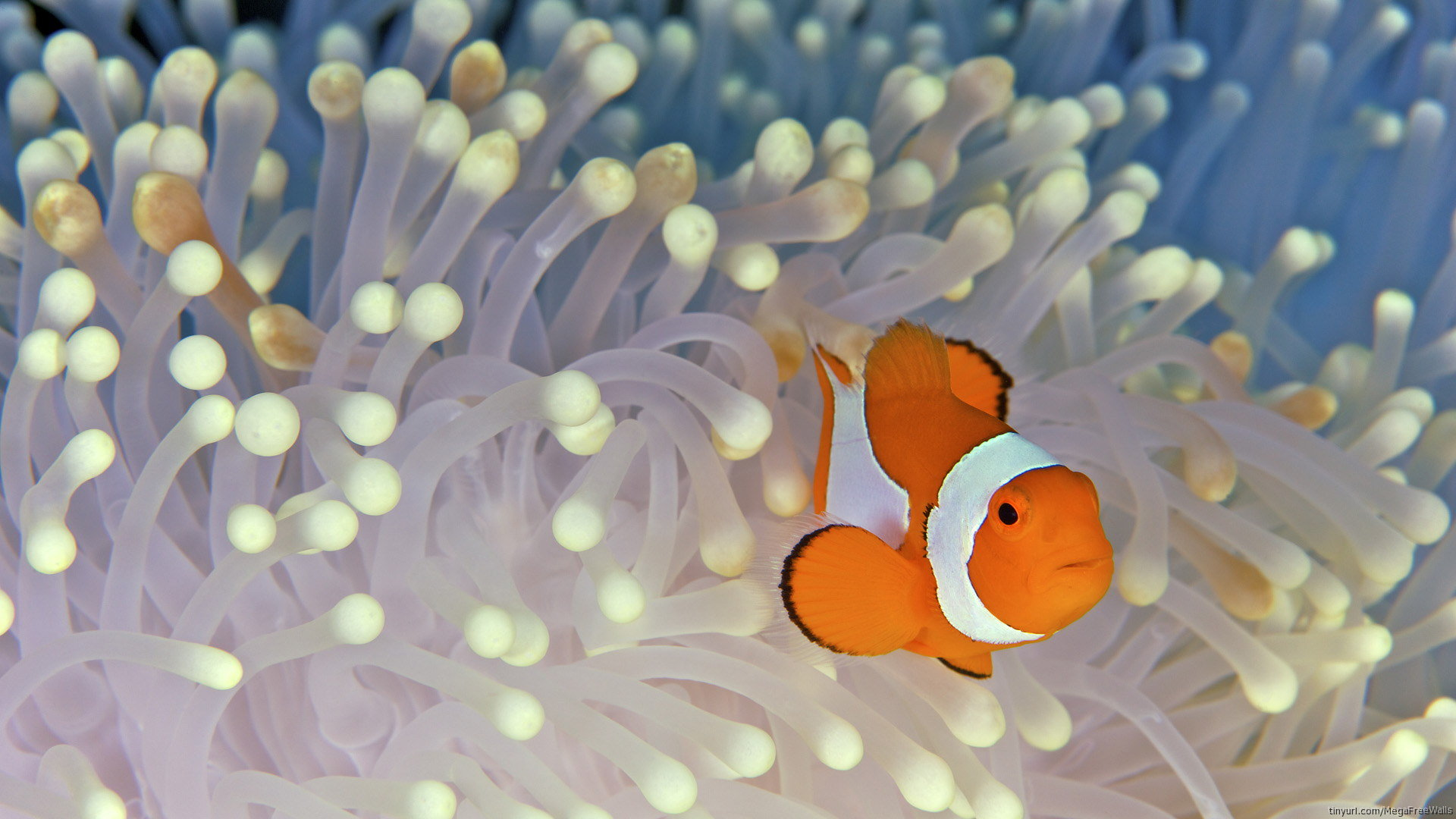 Free download Clownfish background ID:53247 full hd 1920x1080 for computer