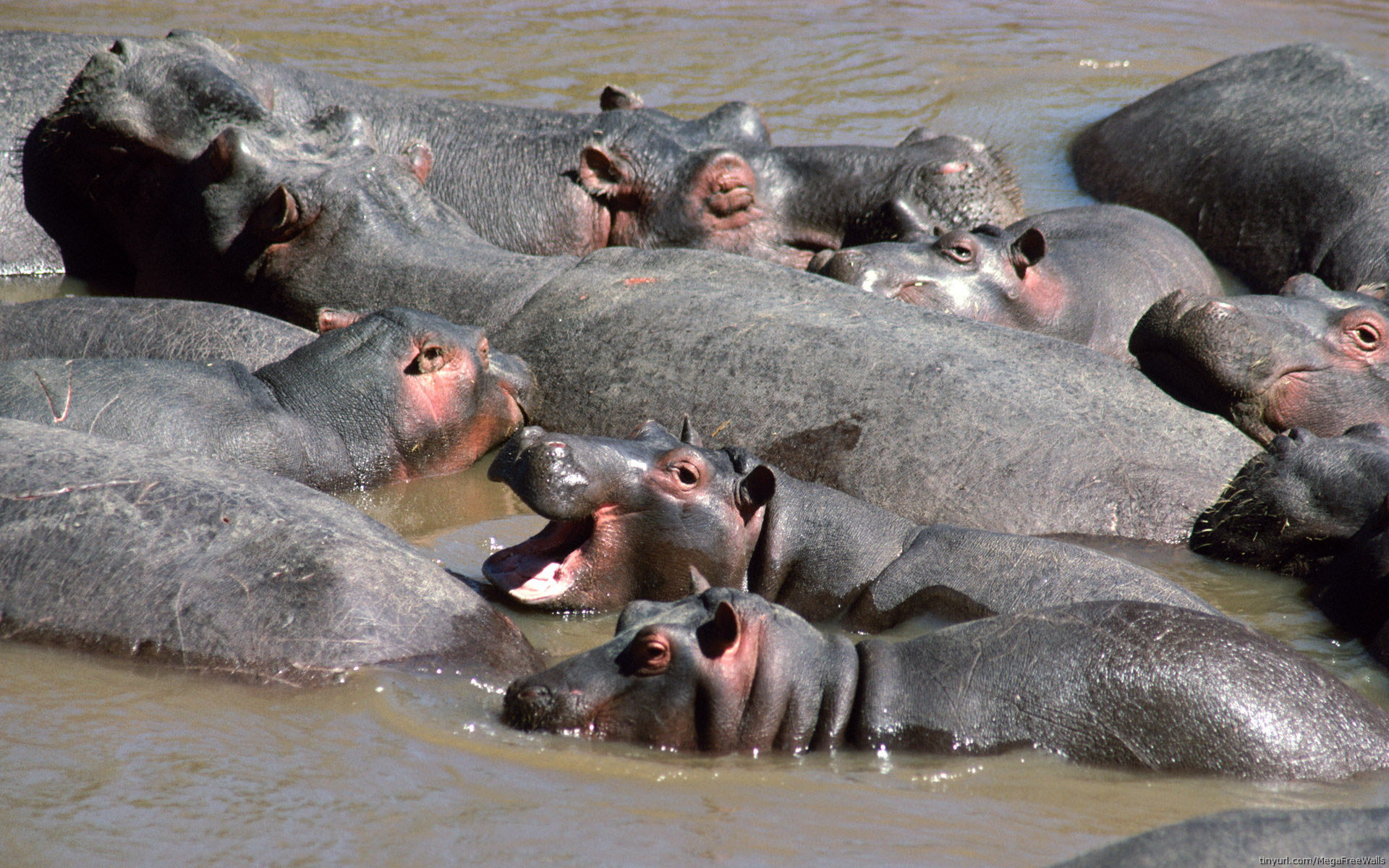 Free Hippo high quality wallpaper ID:28836 for hd 1920x1200 PC