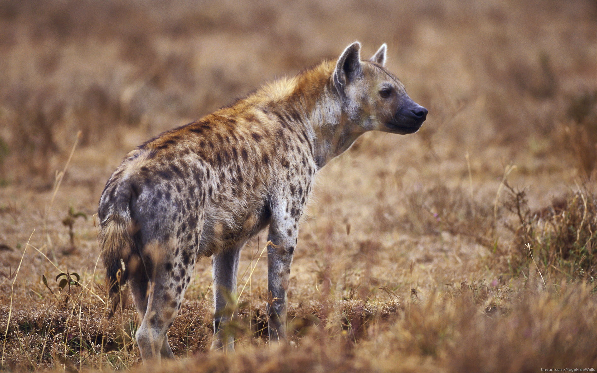 Download hd 1920x1200 Hyena desktop wallpaper ID:239235 for free