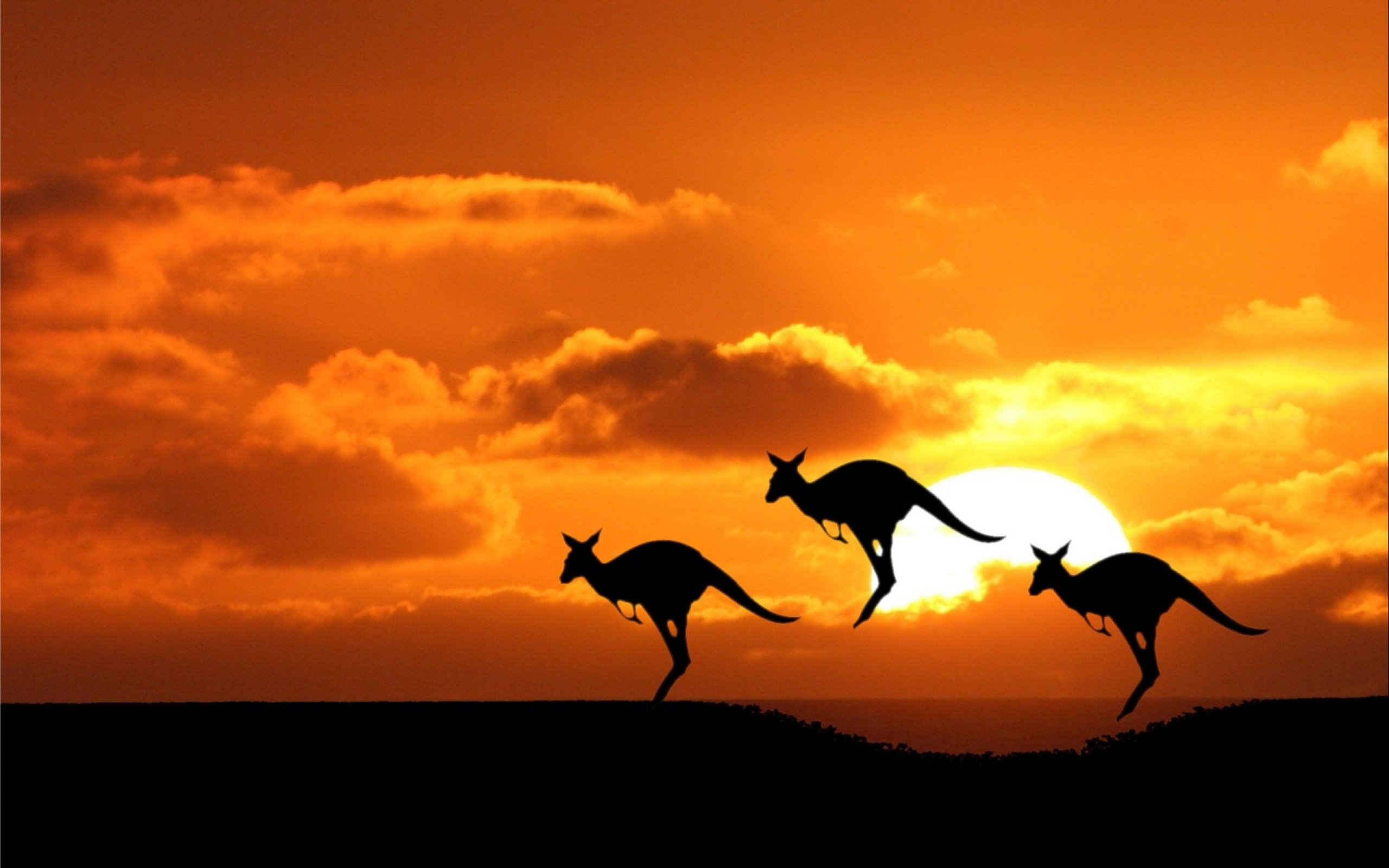 High resolution Kangaroo hd 2560x1600 background ID:122486 for computer