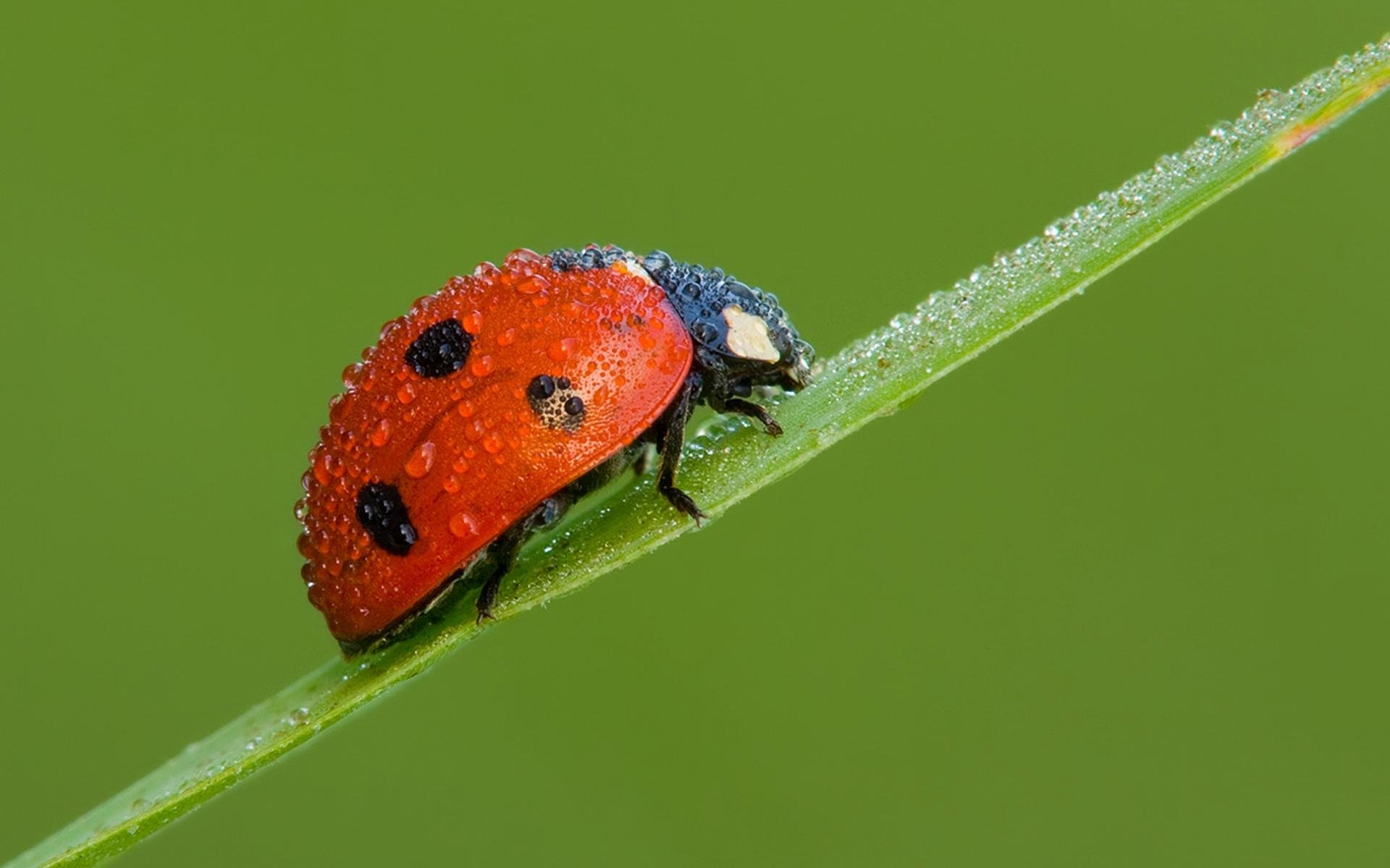 Awesome Ladybug free background ID:270396 for hd 1920x1200 desktop