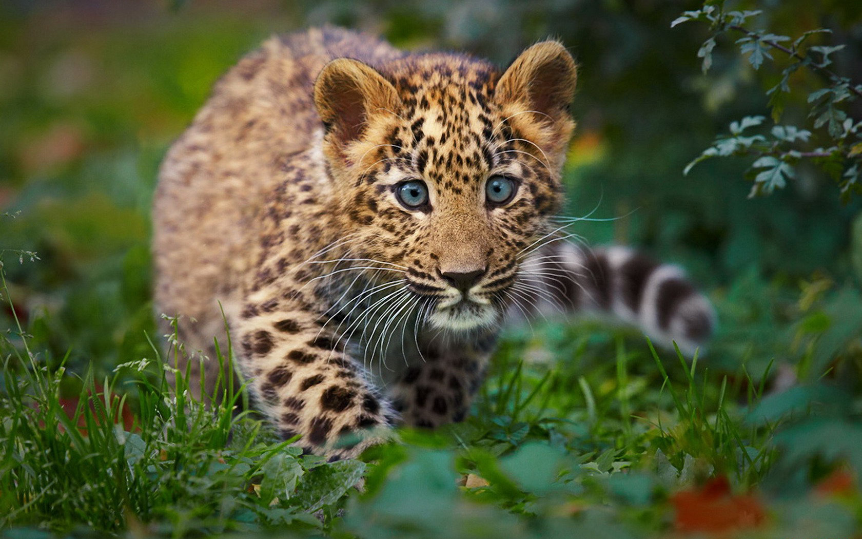 Awesome Leopard free background ID:448399 for hd 1680x1050 desktop