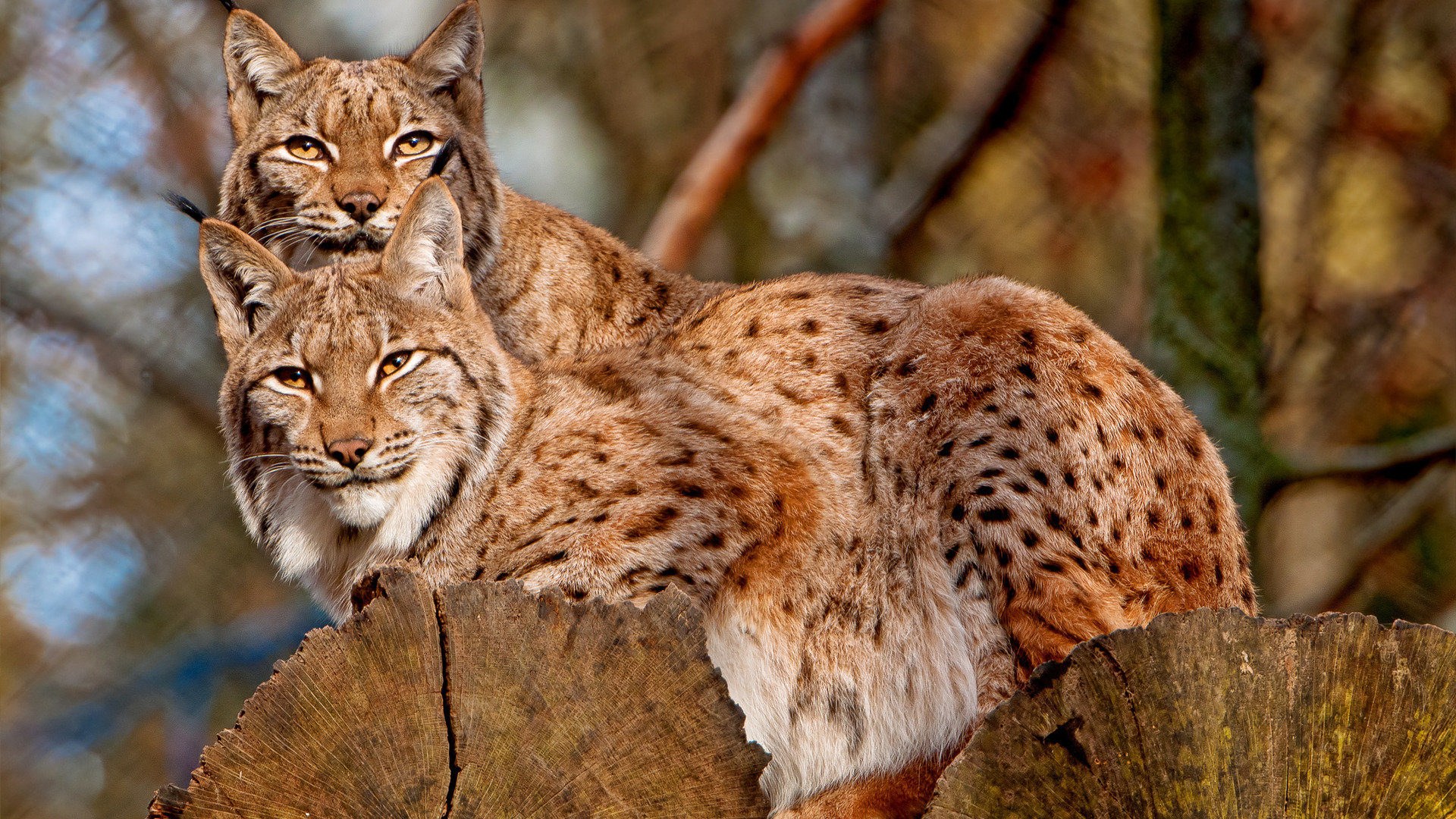 Awesome Lynx free background ID:105795 for full hd 1080p PC