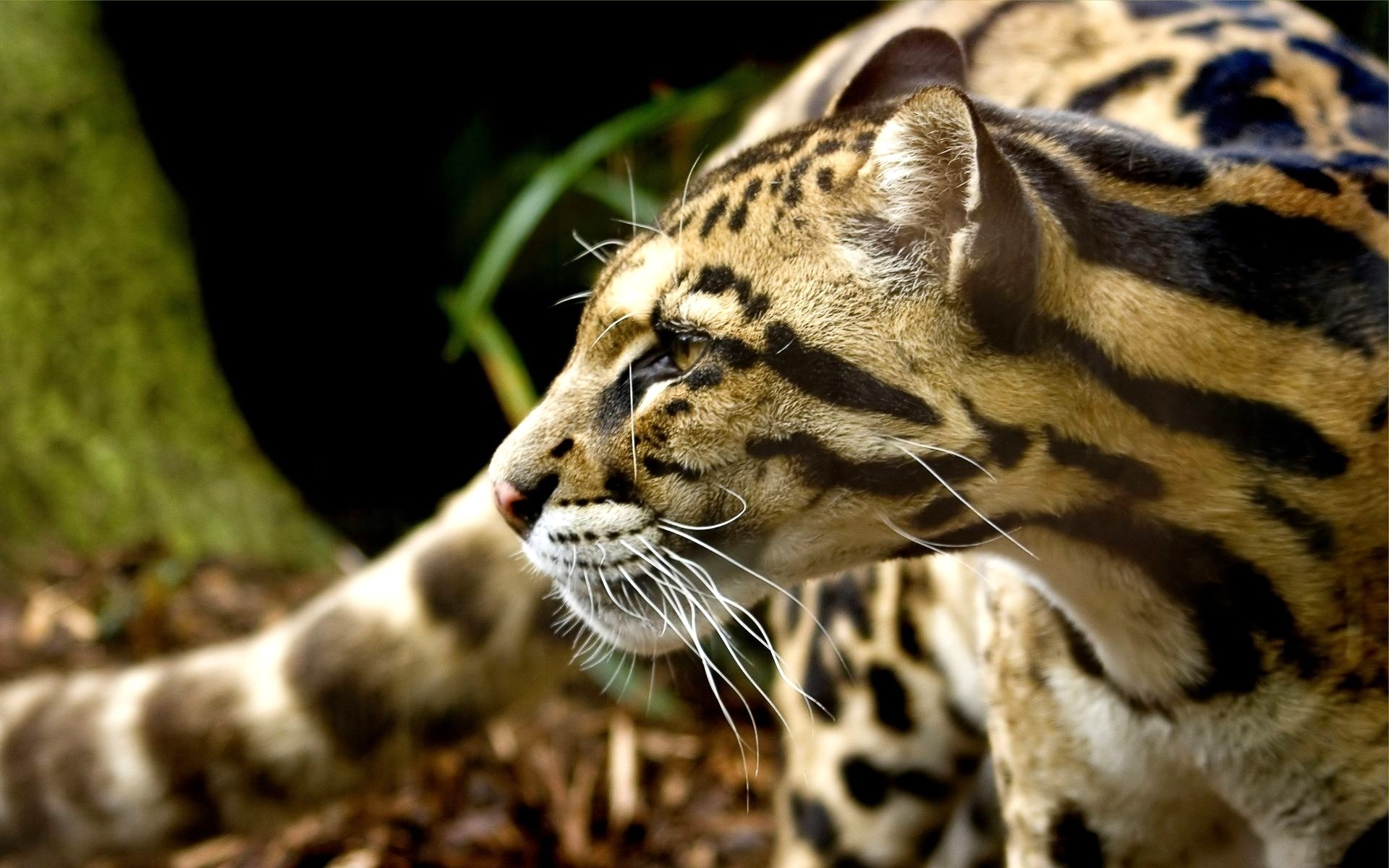 Best Ocelot background ID:146307 for High Resolution hd 1920x1200 PC