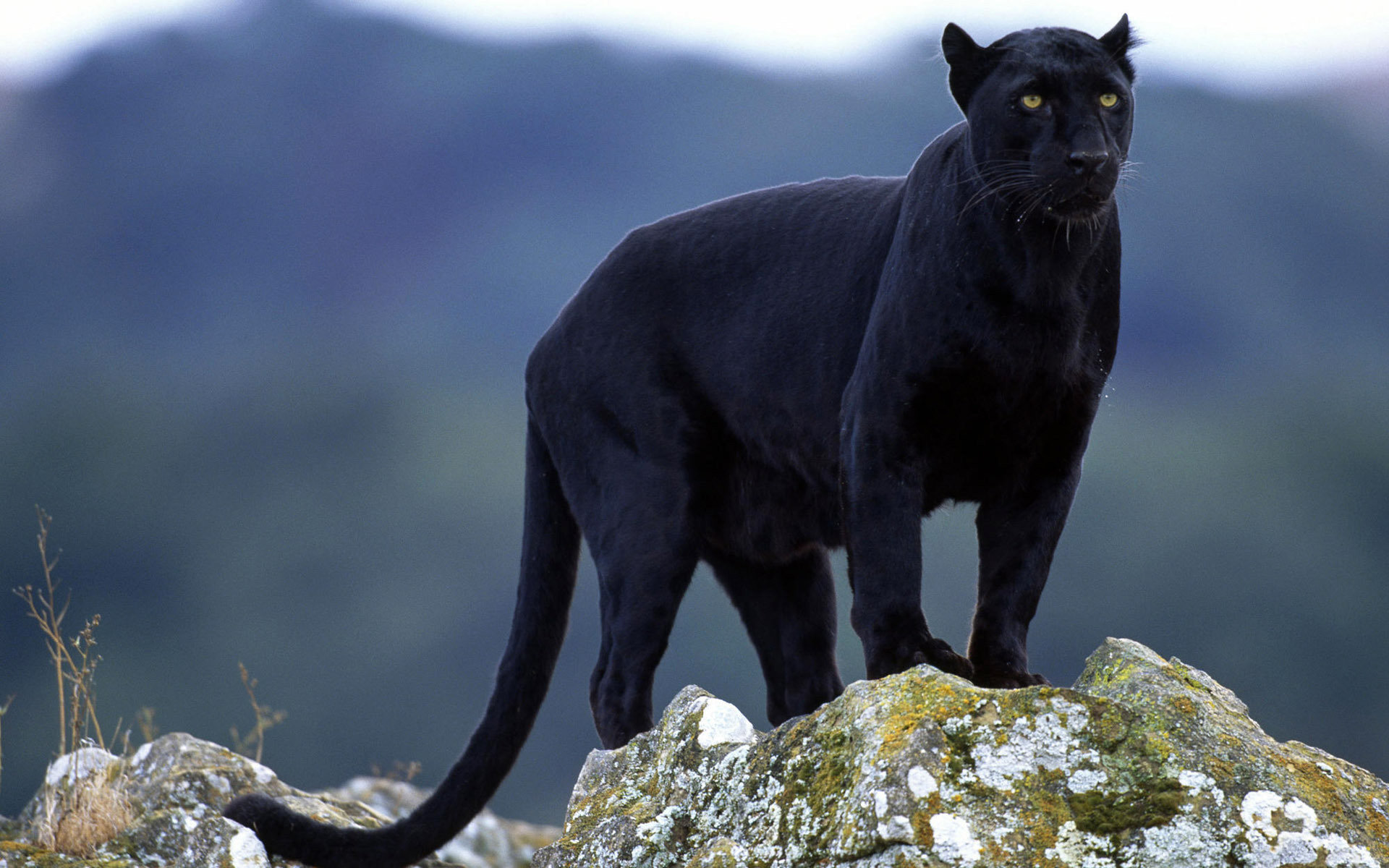 Free Panther high quality wallpaper ID:357139 for hd 1920x1200 PC