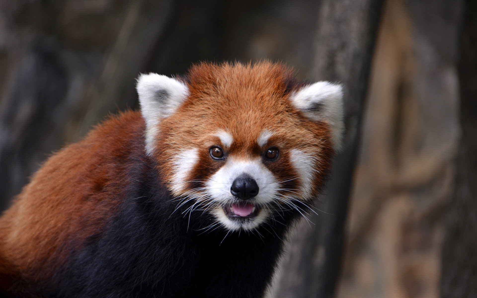 Best Red Panda background ID:64093 for High Resolution hd 1920x1200 desktop
