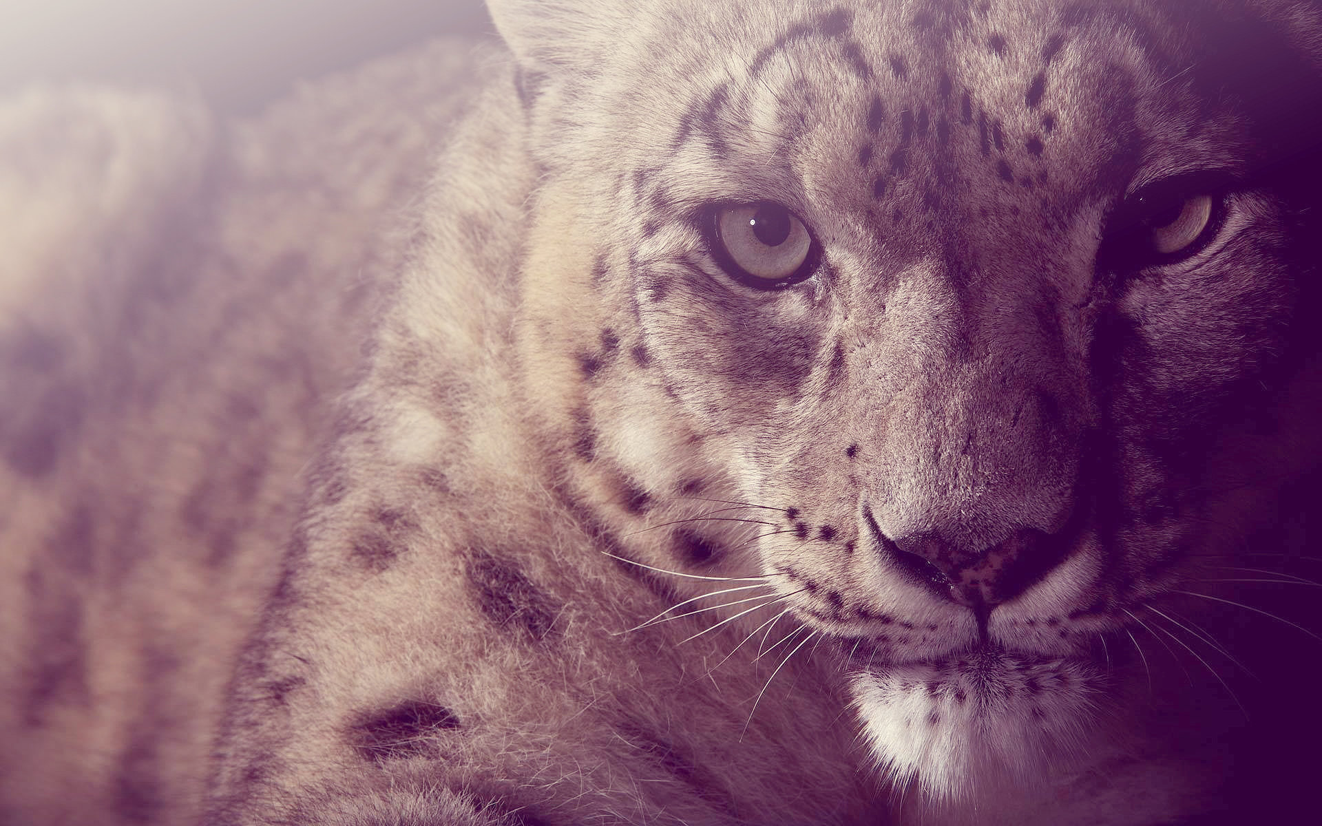 Snow Leopard Wallpapers 1920x1200 Desktop Backgrounds