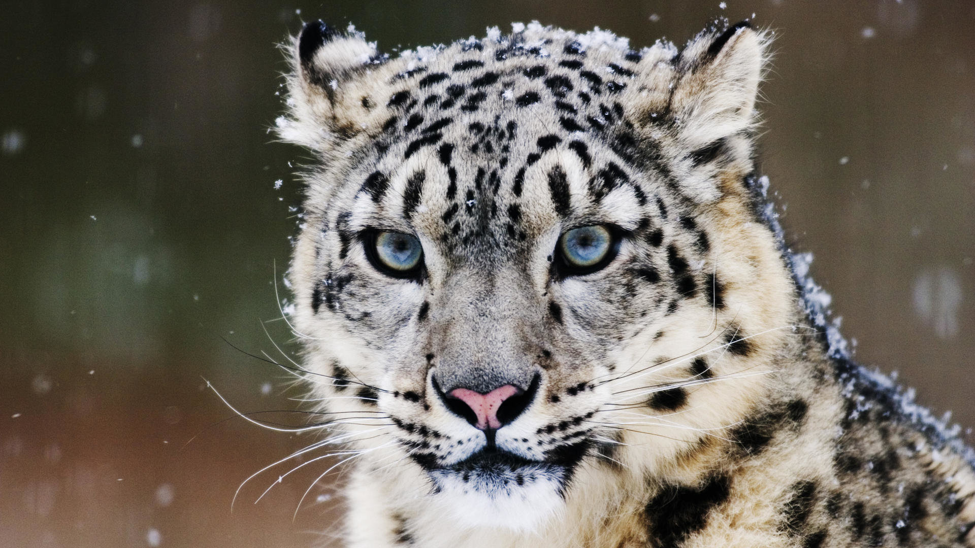 Free Snow Leopard high quality wallpaper ID:34286 for full hd 1920x1080 desktop