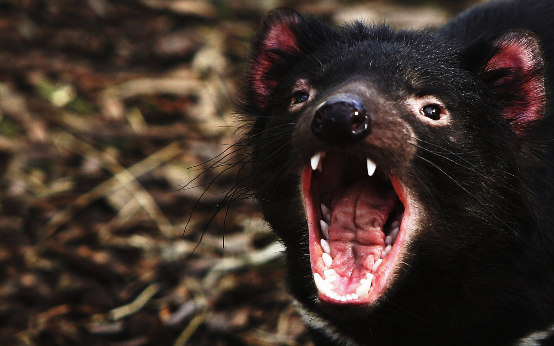 Free download Tasmanian Devil wallpaper ID:242794 hd 1920x1200 for desktop