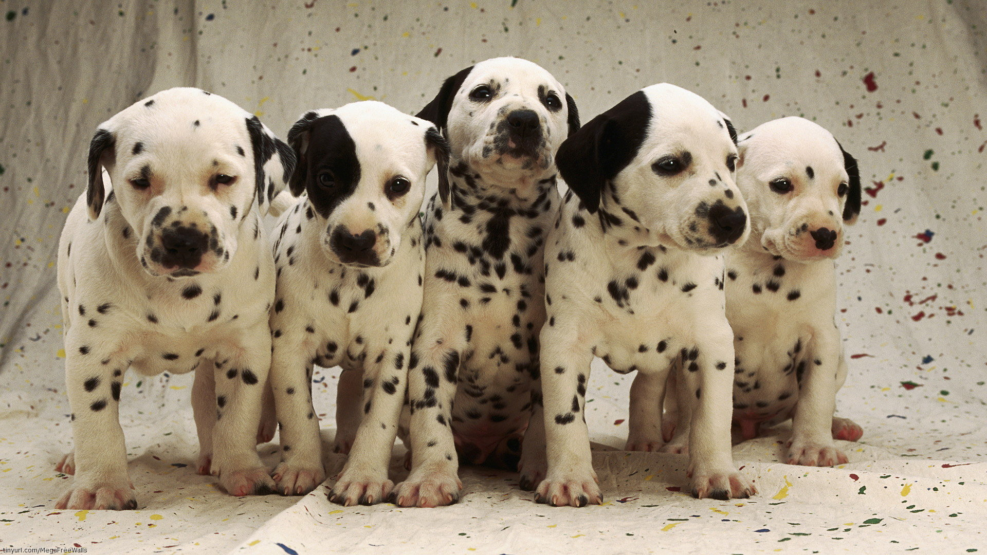 High resolution Dalmatian full hd background ID:433554 for PC