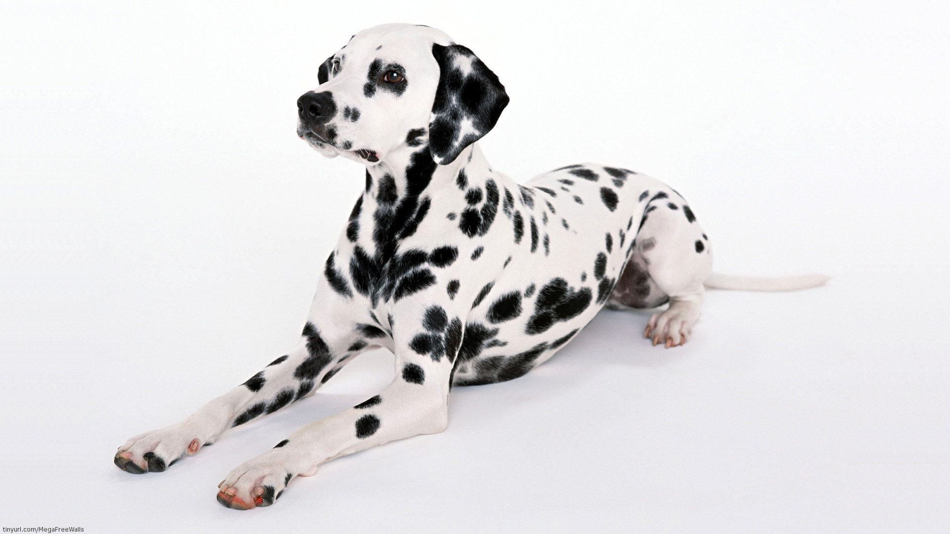 Free download Dalmatian wallpaper ID:433523 full hd 1920x1080 for PC