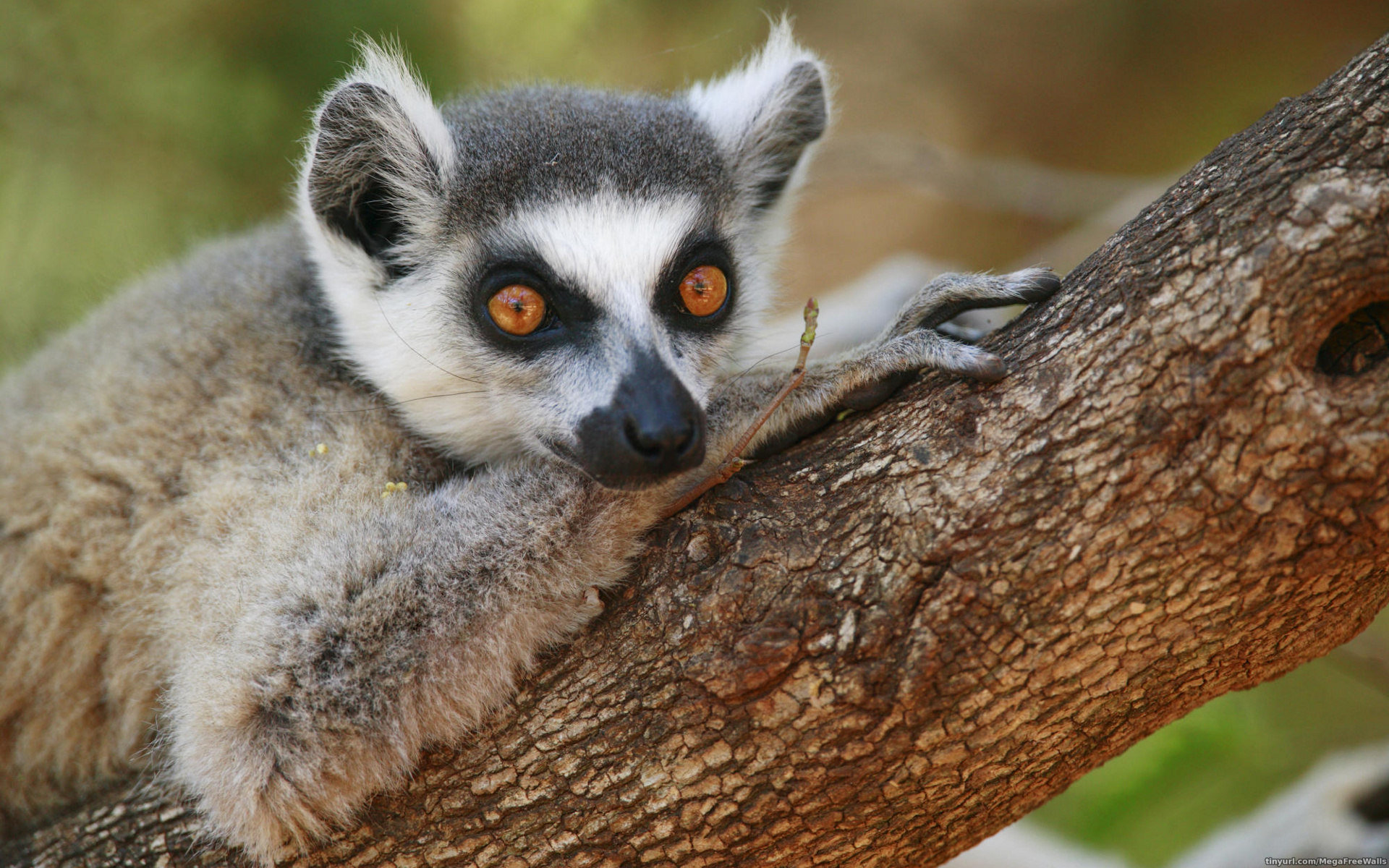 Download hd 1920x1200 Lemur desktop wallpaper ID:53200 for free