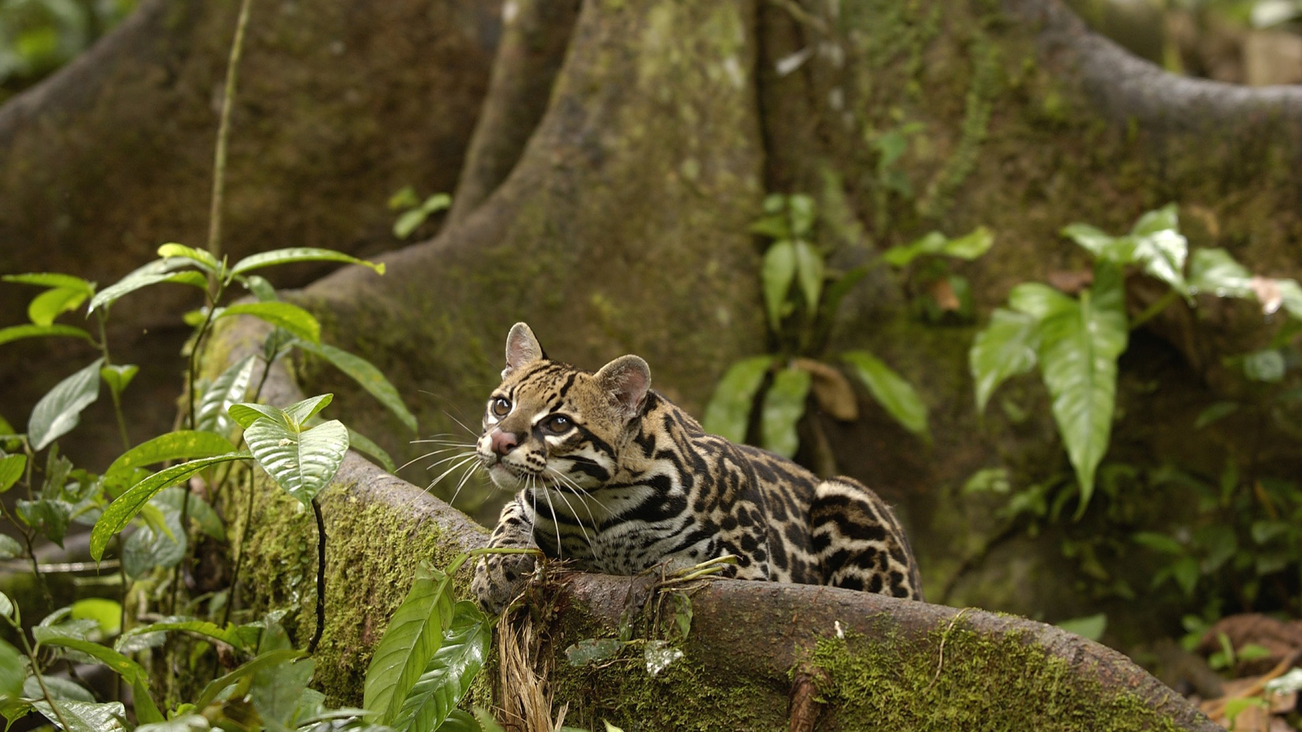 Awesome Ocelot free wallpaper ID:146290 for hd 2560x1440 computer