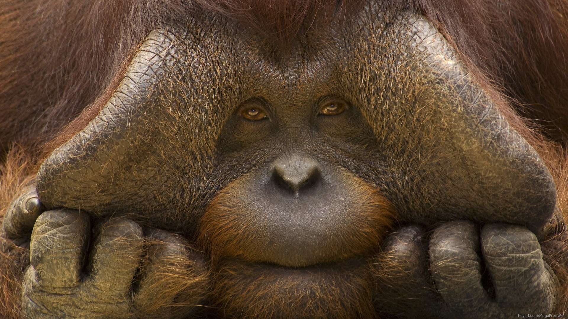Download hd 1080p Orangutan computer wallpaper ID:70049 for free