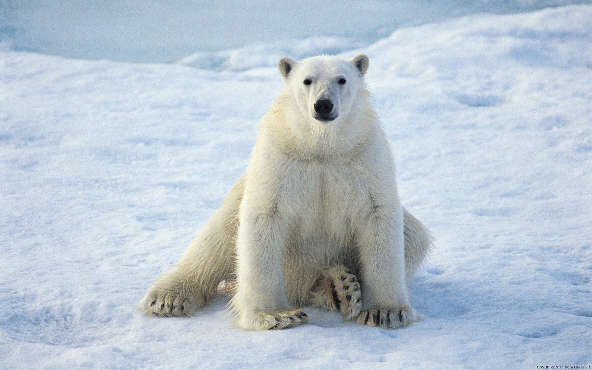 Download hd 1920x1200 Polar Bear computer background ID:359737 for free