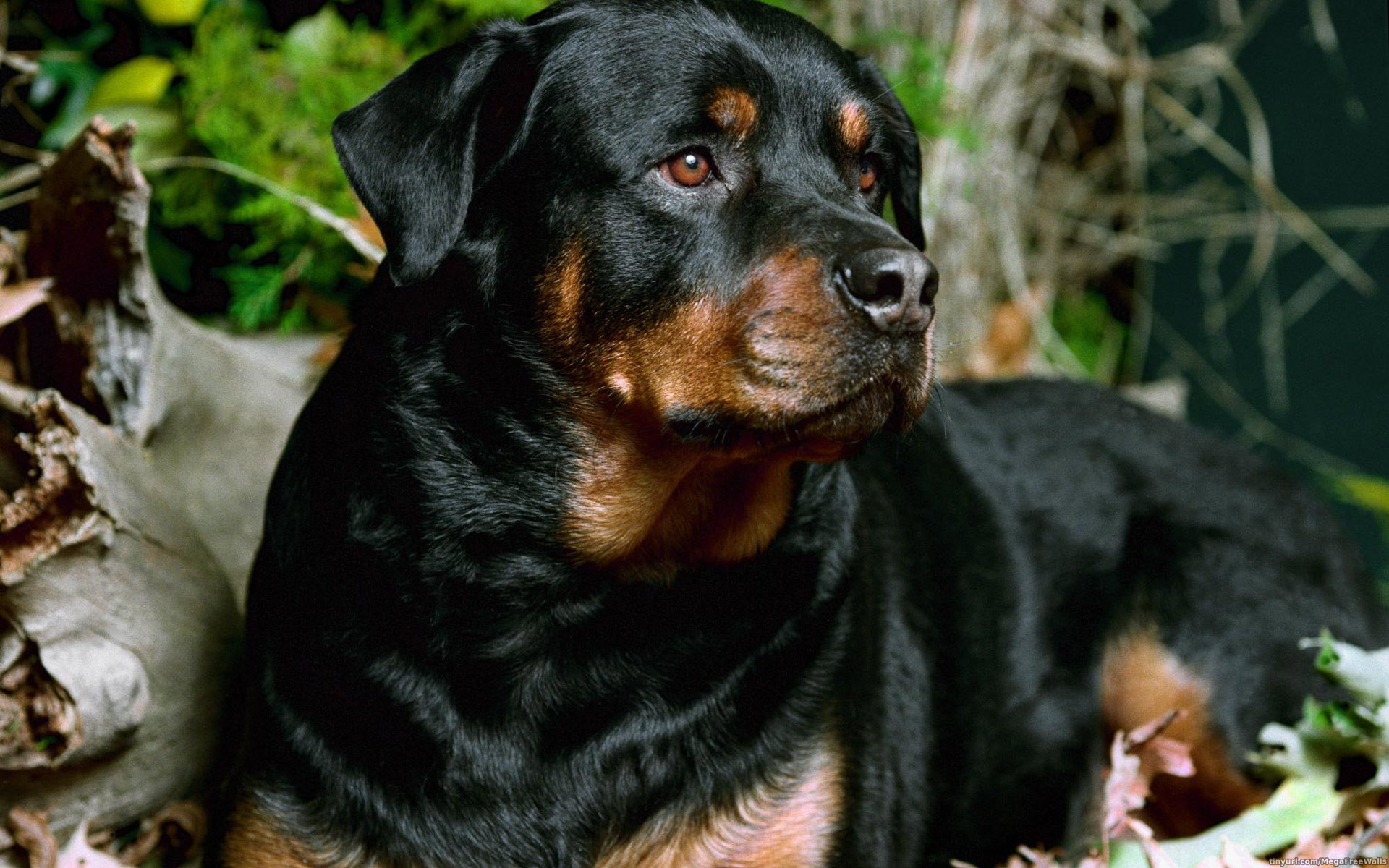 Download hd 1920x1200 Rottweiler computer background ID:68571 for free