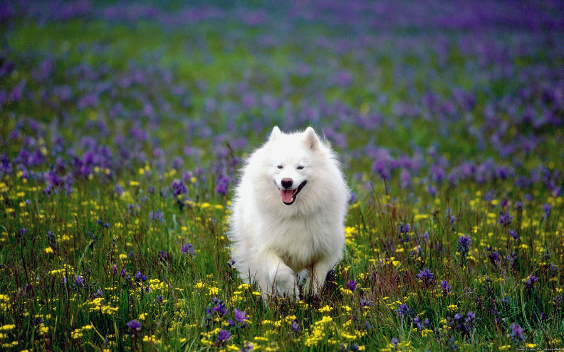 Free download Samoyed background ID:63144 hd 1920x1200 for PC