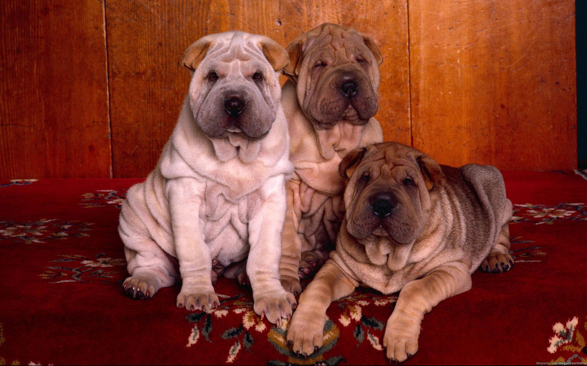 Download hd 1920x1200 Shar Pei desktop background ID:376289 for free