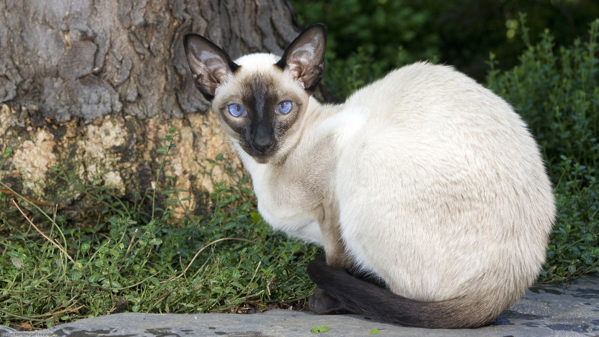 Best Siamese Cat wallpaper ID:53375 for High Resolution full hd computer