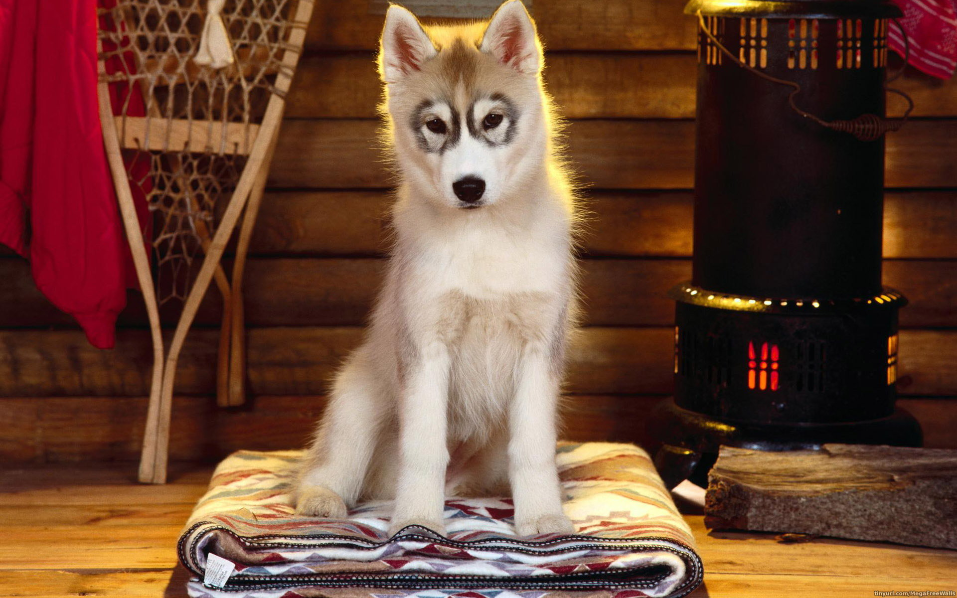 Free download Siberian Husky background ID:155232 hd 1920x1200 for desktop