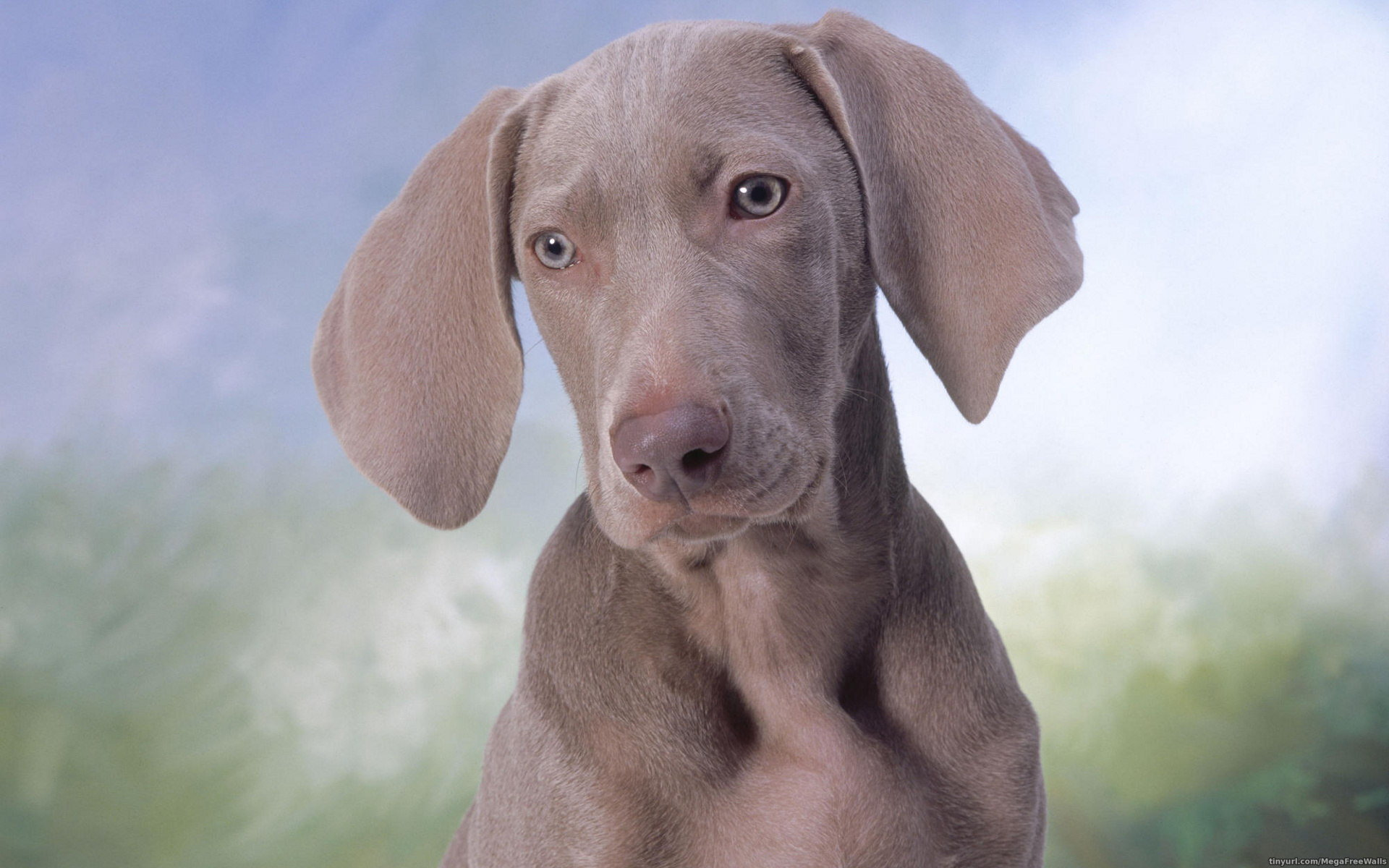 Free download Weimaraner background ID:9648 hd 1920x1200 for PC