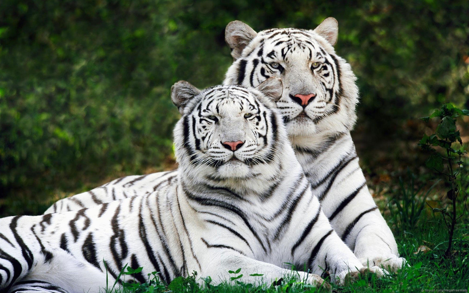 Awesome White Tiger free background ID:174839 for hd 1920x1200 PC
