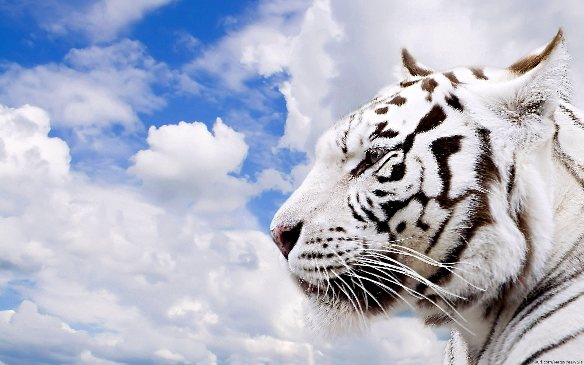 Best White Tiger background ID:174879 for High Resolution hd 1920x1200 PC