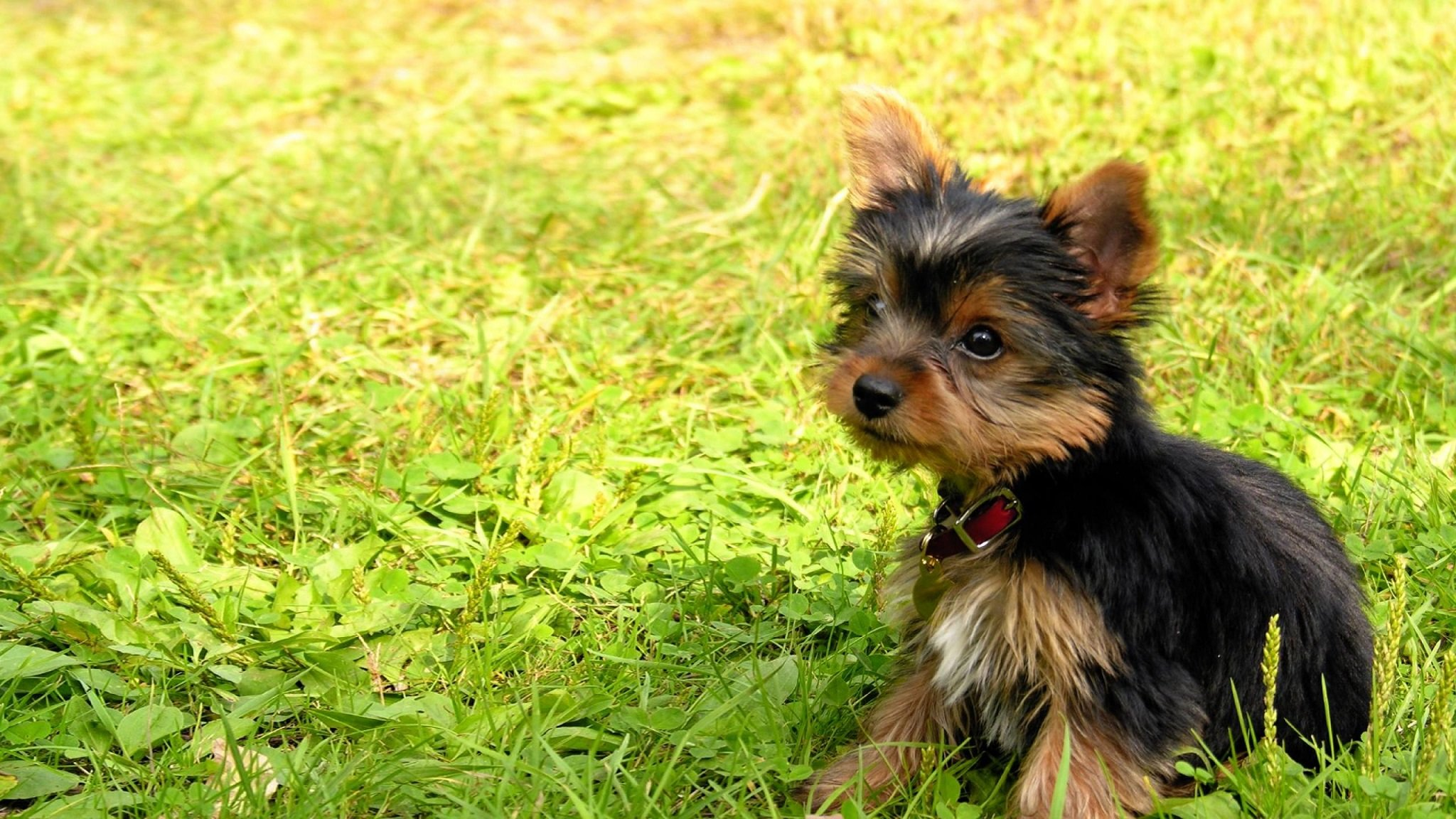 Best Yorkshire Terrier wallpaper ID:110963 for High Resolution hd 2048x1152 desktop