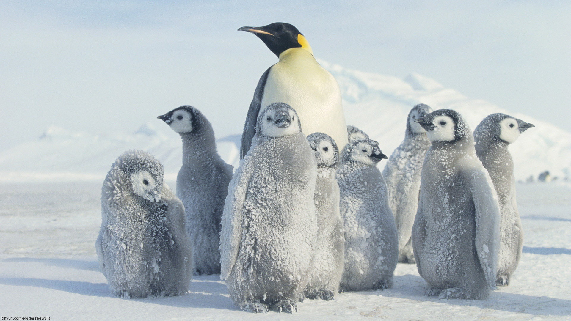 High resolution Emperor Penguin full hd 1920x1080 wallpaper ID:47912 for desktop