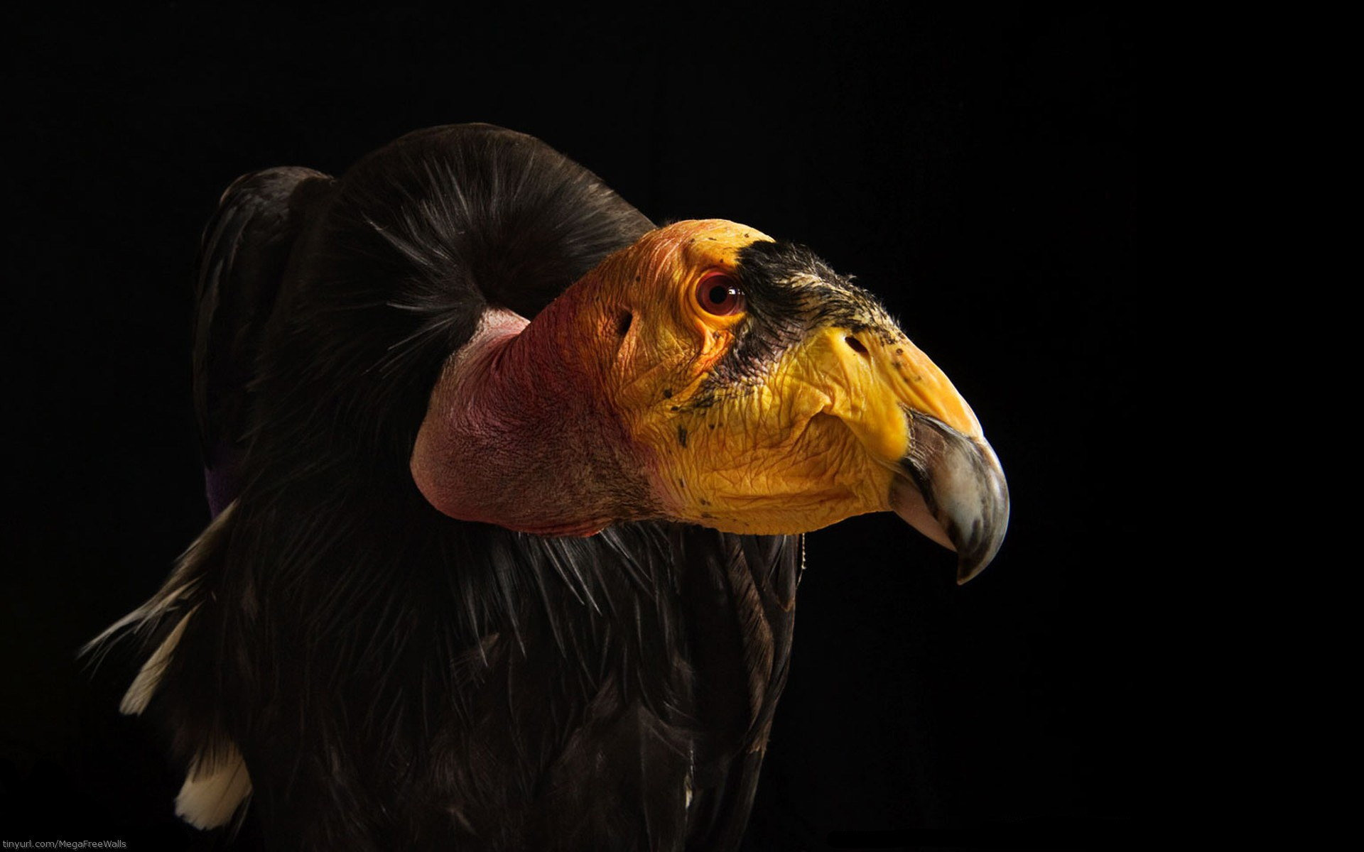 High resolution Vulture hd 1920x1200 wallpaper ID:82942 for desktop