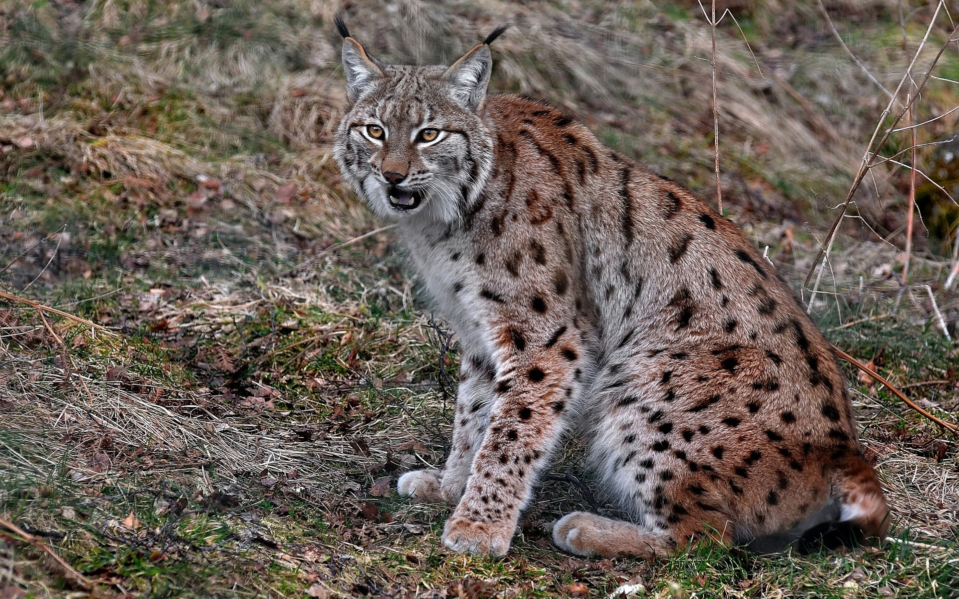 Best Lynx wallpaper ID:105794 for High Resolution hd 1920x1200 desktop