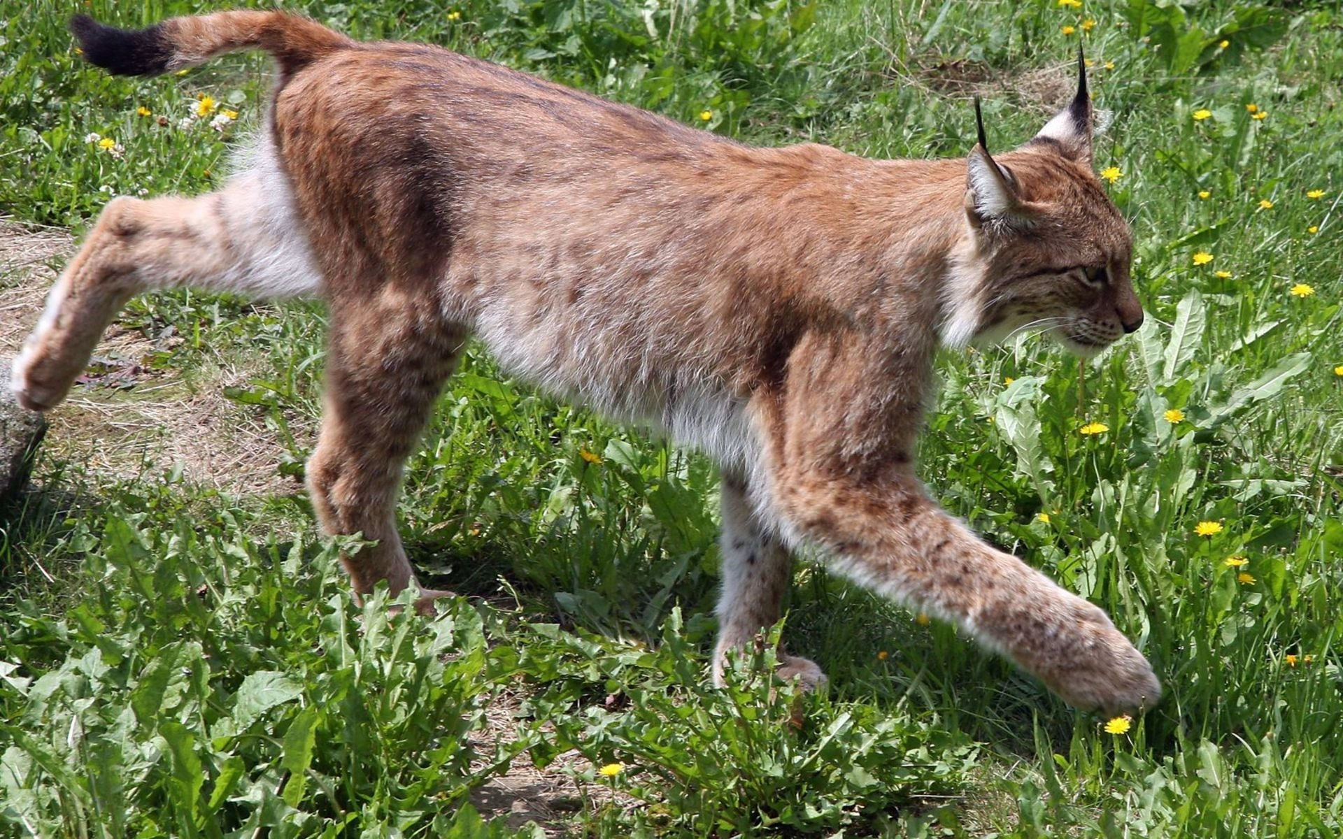 Awesome Lynx free wallpaper ID:105941 for hd 1920x1200 PC