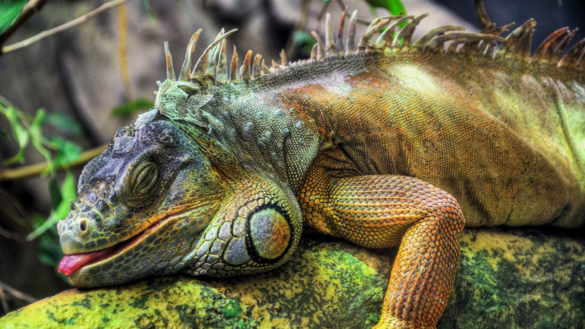 Download 1080p Iguana PC wallpaper ID:380898 for free
