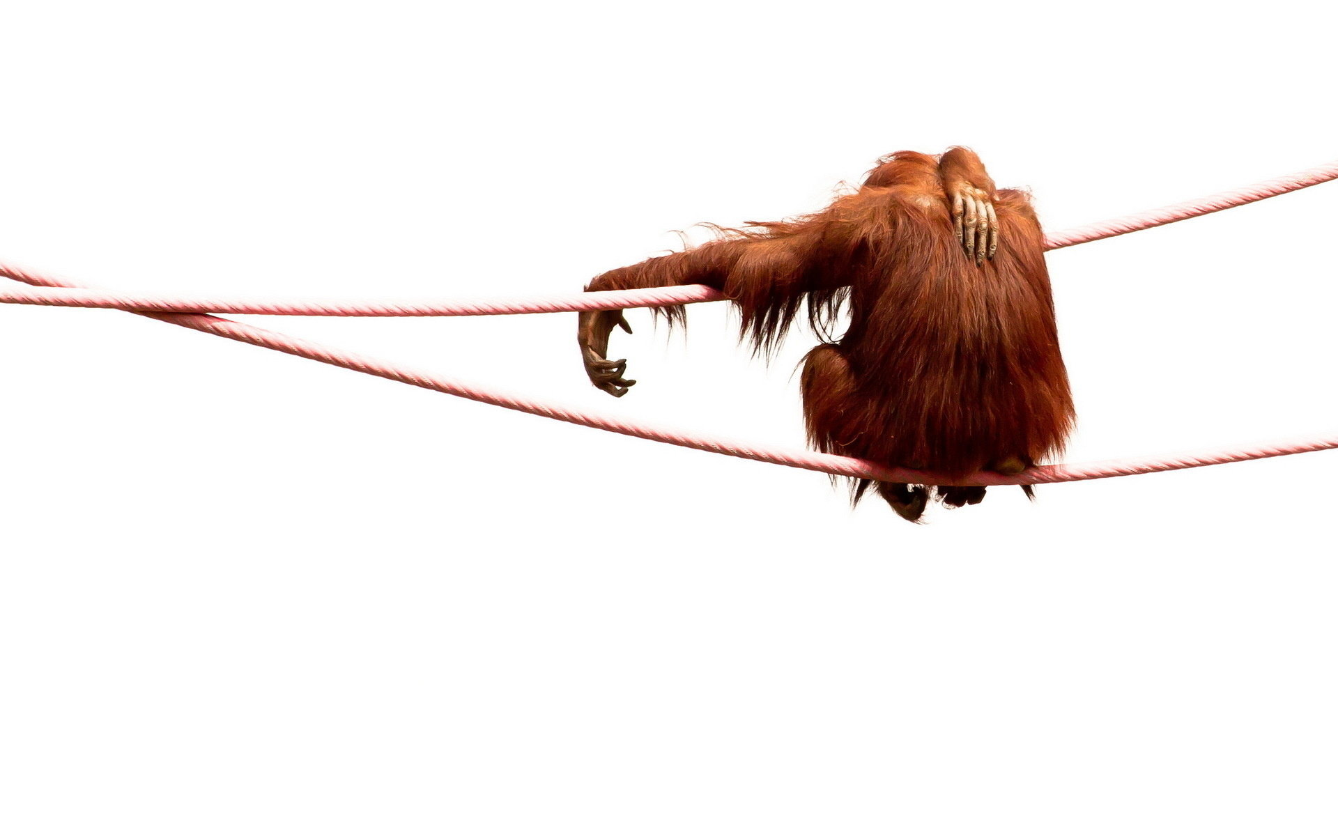 Free Orangutan high quality wallpaper ID:70085 for hd 1920x1200 PC