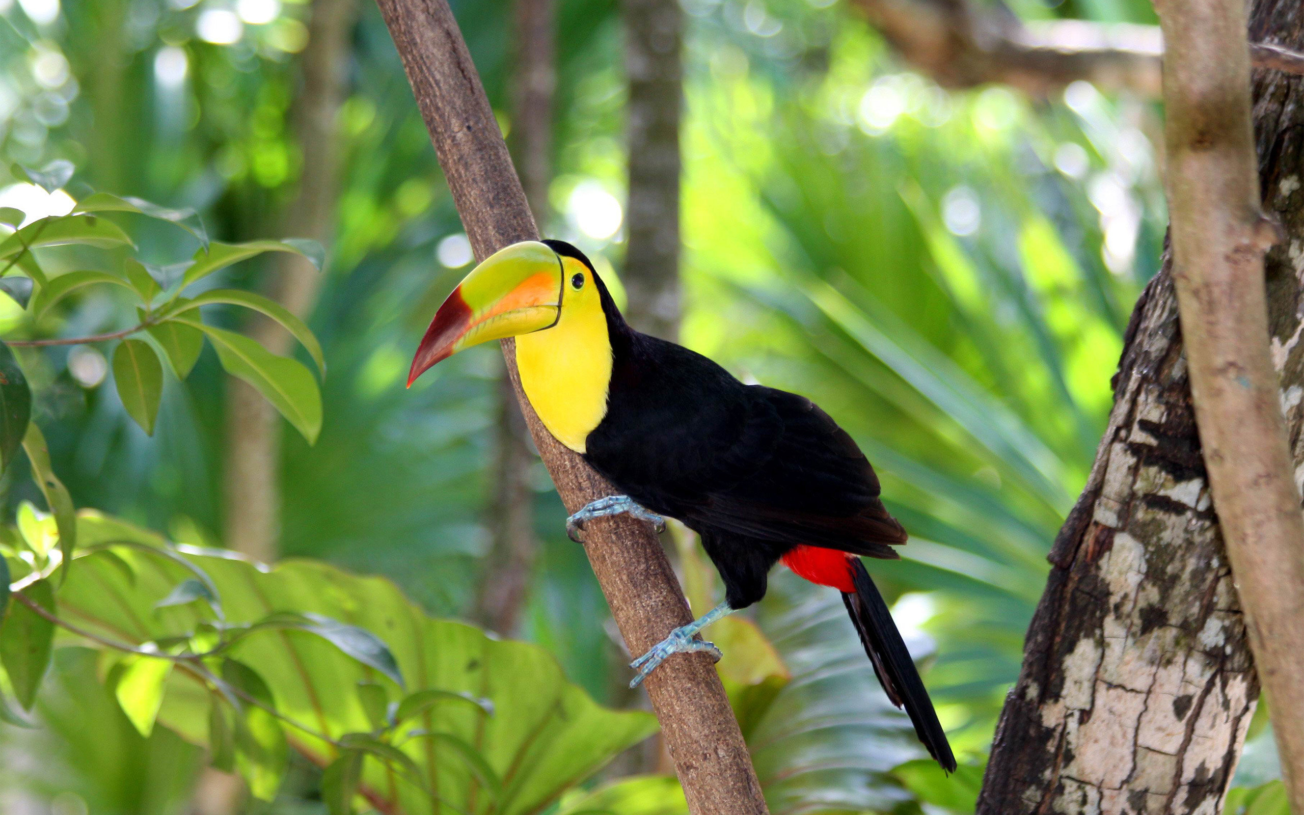 Download hd 2560x1600 Toucan computer wallpaper ID:57265 for free