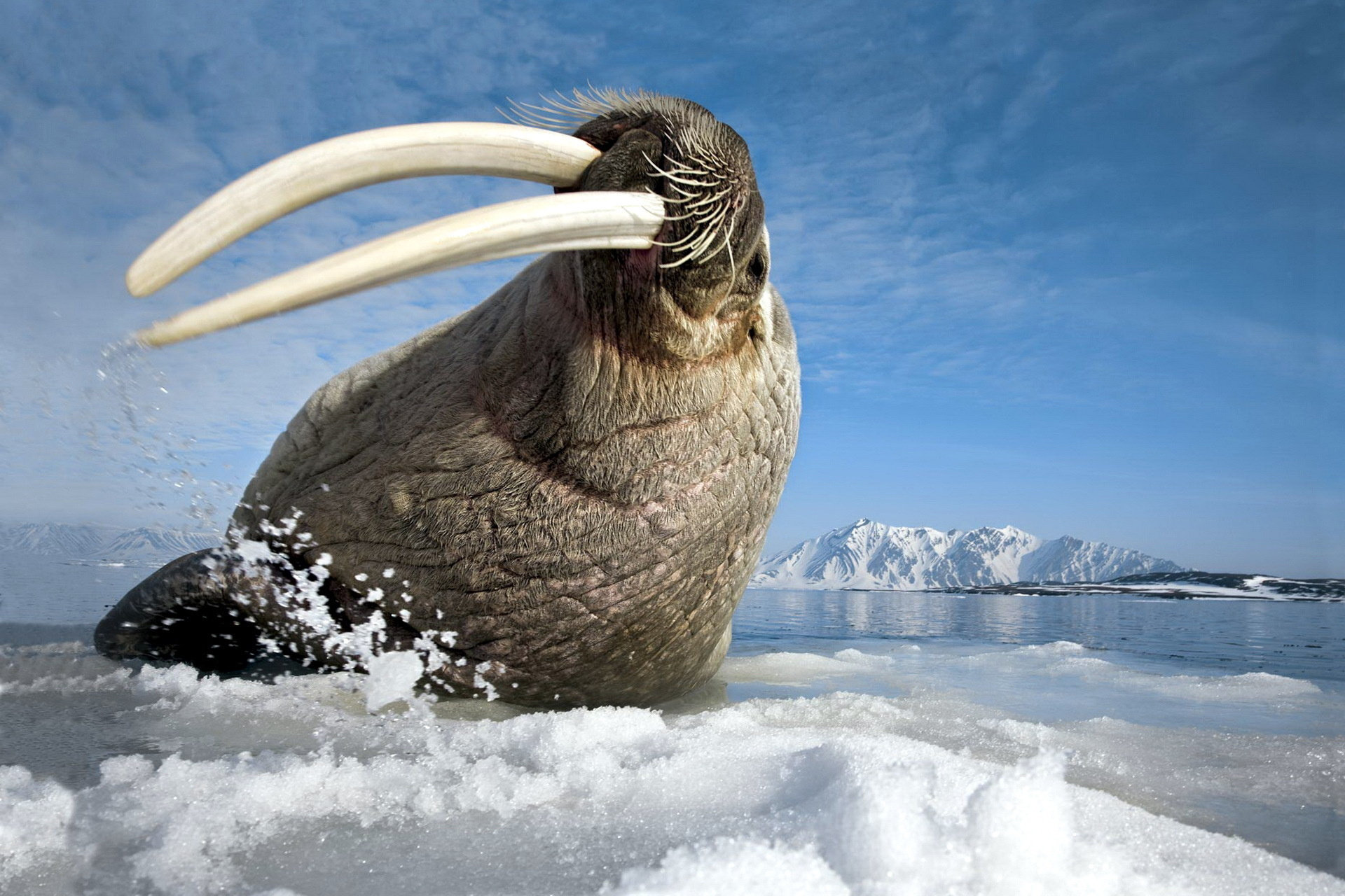 Awesome Walrus free wallpaper ID:394832 for hd 1920x1280 PC
