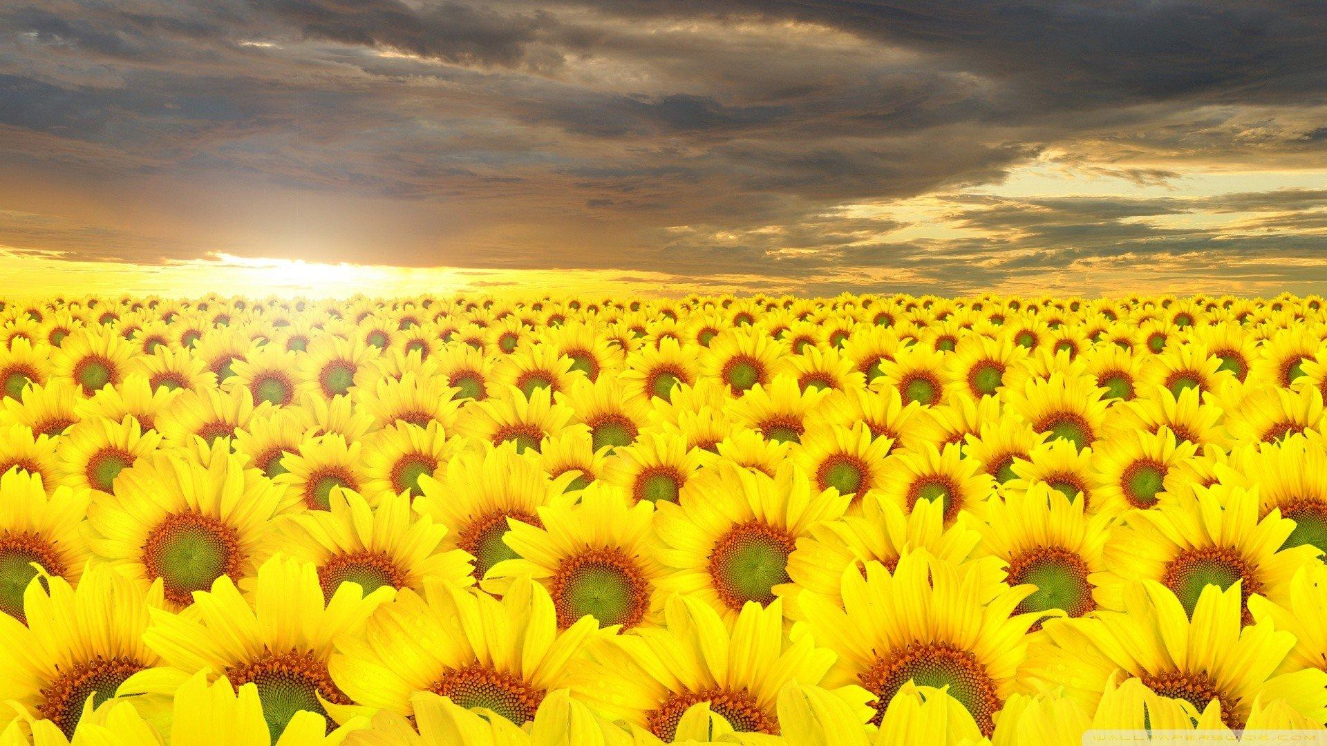 sunflower wallpaper 1080p 226571