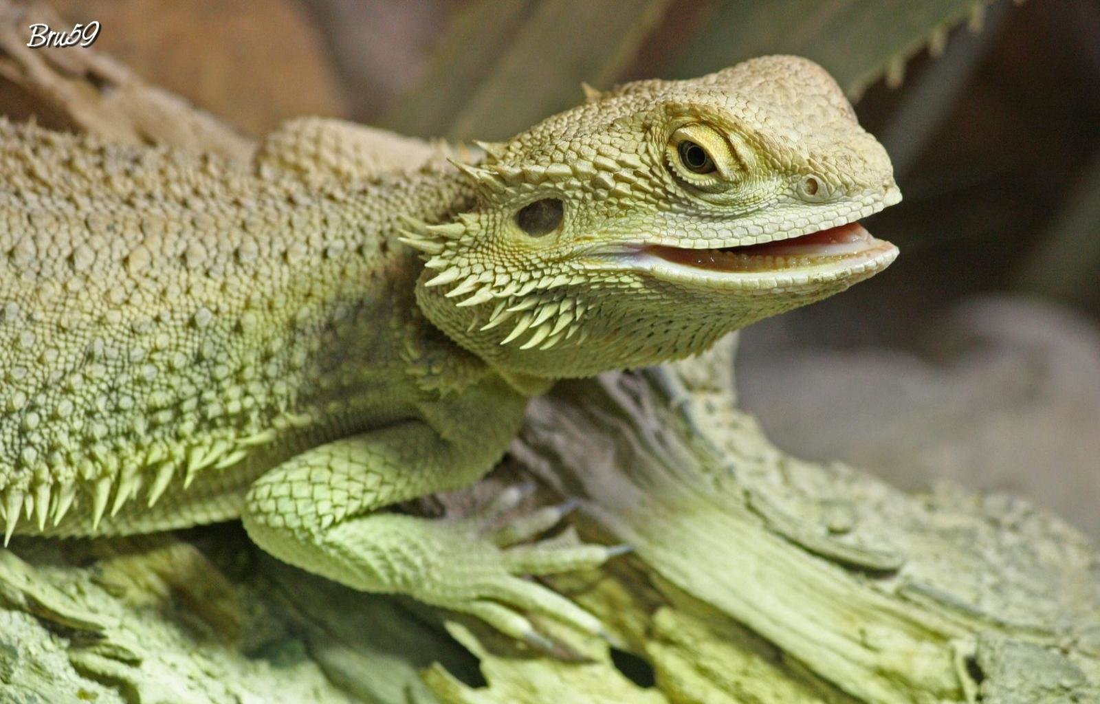 Best Bearded Dragon background ID:396838 for High Resolution hd 1600x1024 PC
