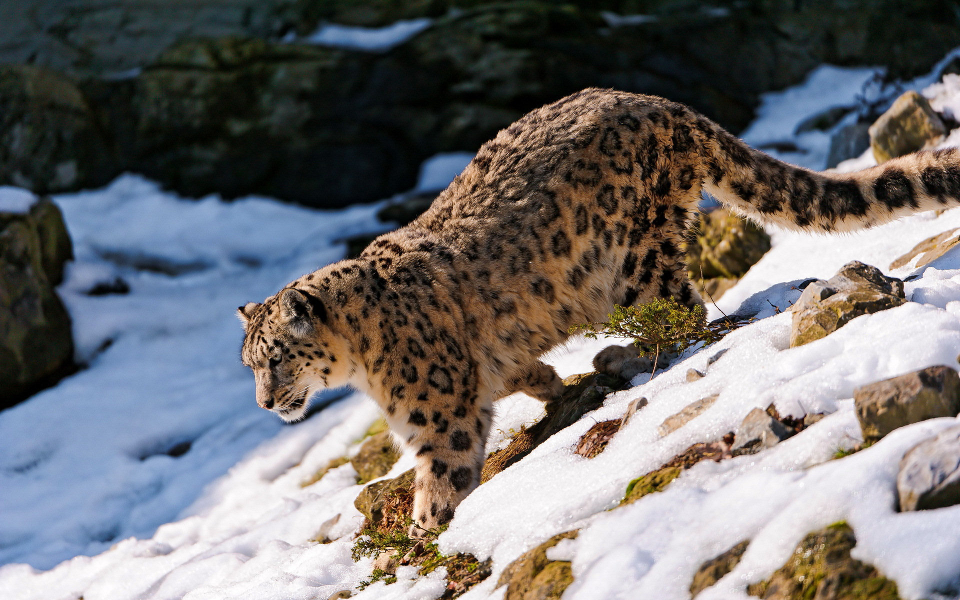 Free Snow Leopard high quality background ID:34341 for hd 1920x1200 desktop